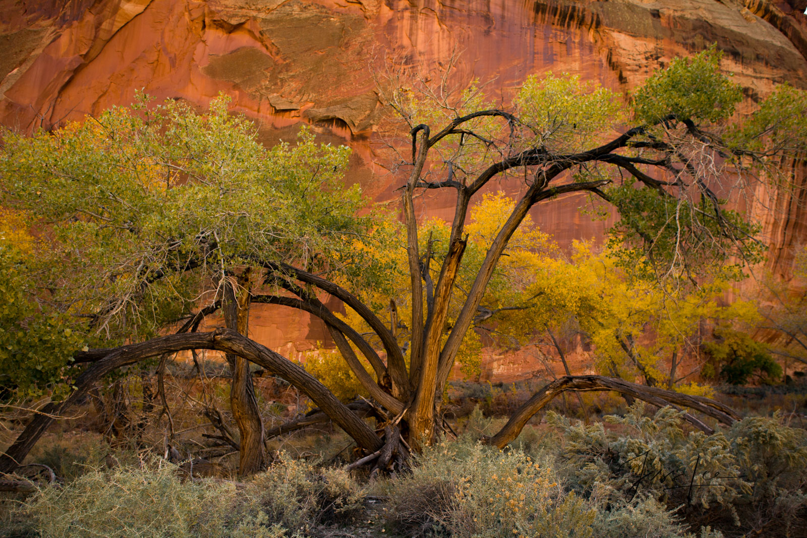 Limited Edition of 50 Fine Art Prints Canyon Tree: Capitol Reef, San Rafael Swell and the Waterpocket Fold are some of the least...