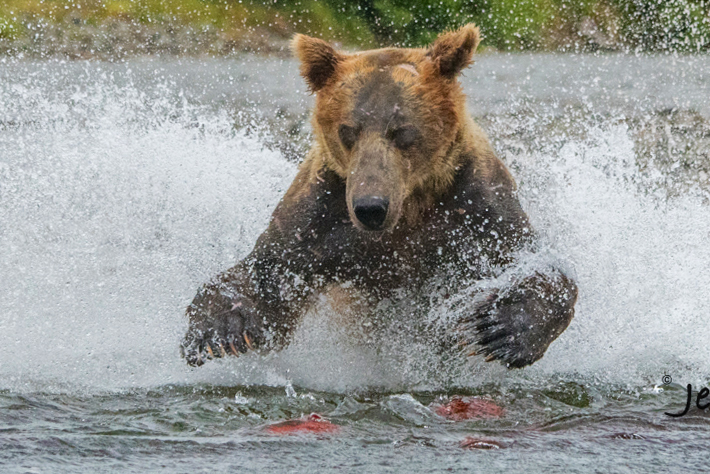 Alaska Grizzly or Brown Bear Fishing Photography Workshop photo.