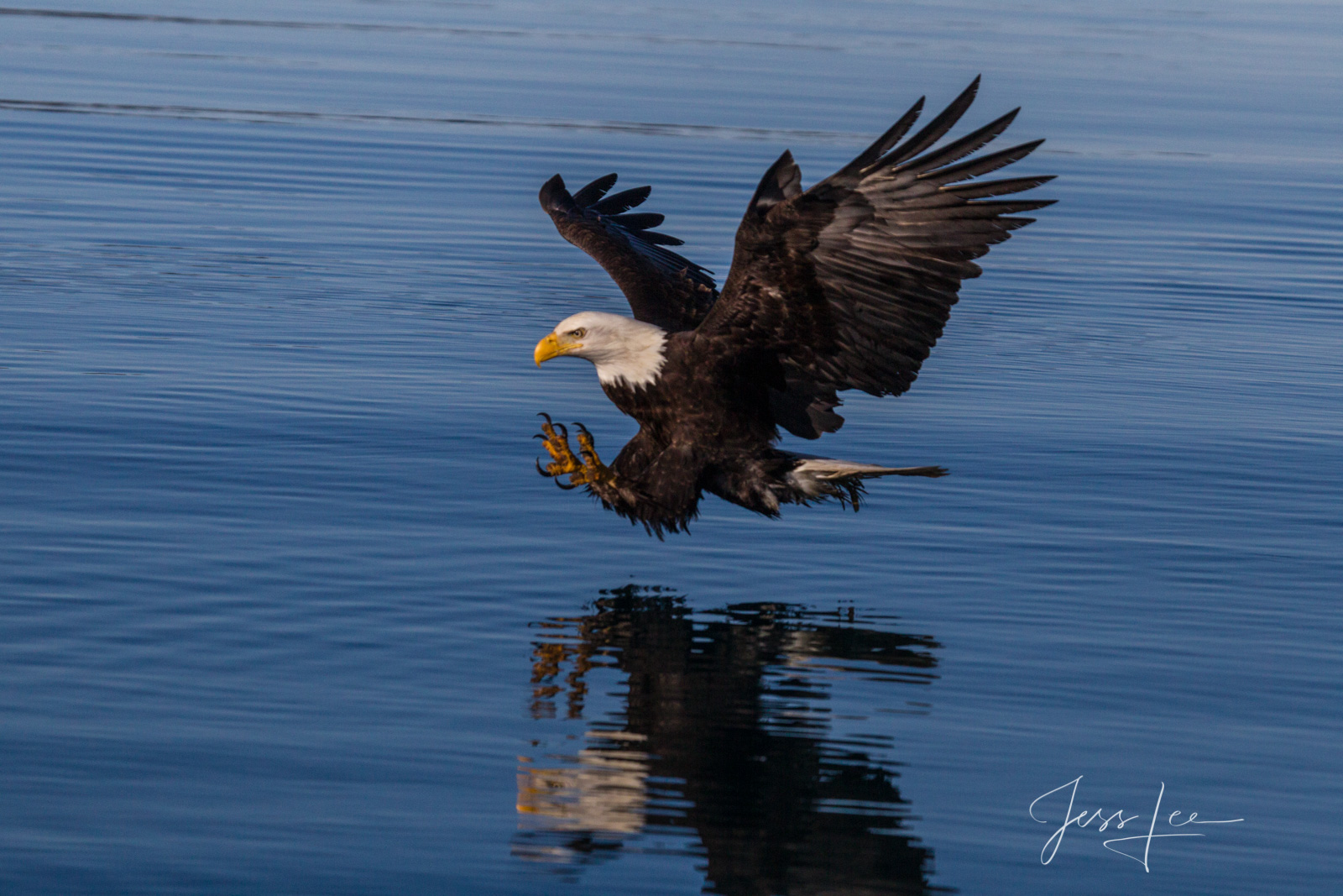 Bring home the power and beauty of the amazing fine art American Bald Eagle photograph Ready by Jess Lee from his Wildlife Photography...
