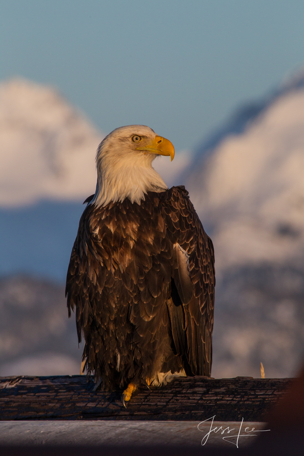 Bring home the power and beauty of the amazing fine art American Bald Eagle photograph All American by Jess Lee from his Wildlife...