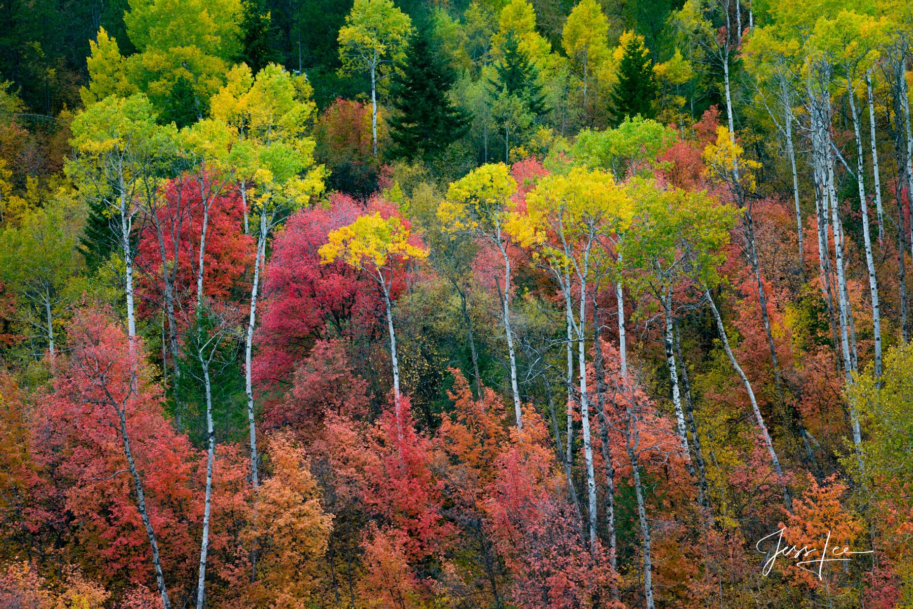 Limited Edition of 50 Exclusive high-resolution Museum Quality Fine Art Prints of a Mixed Bag of fall colored trees in the Idaho...