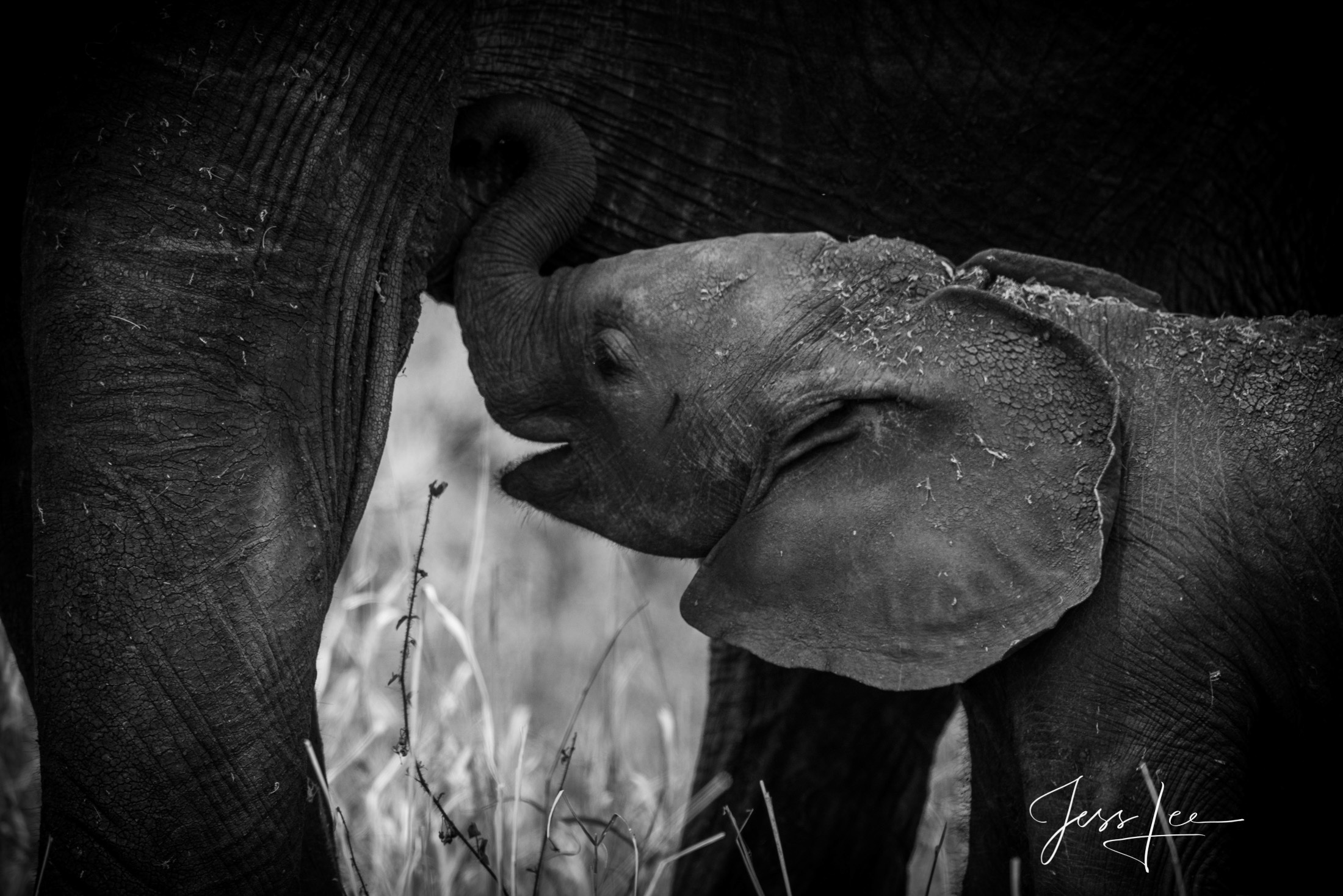 Black and White photo of African elephant baby and Mom