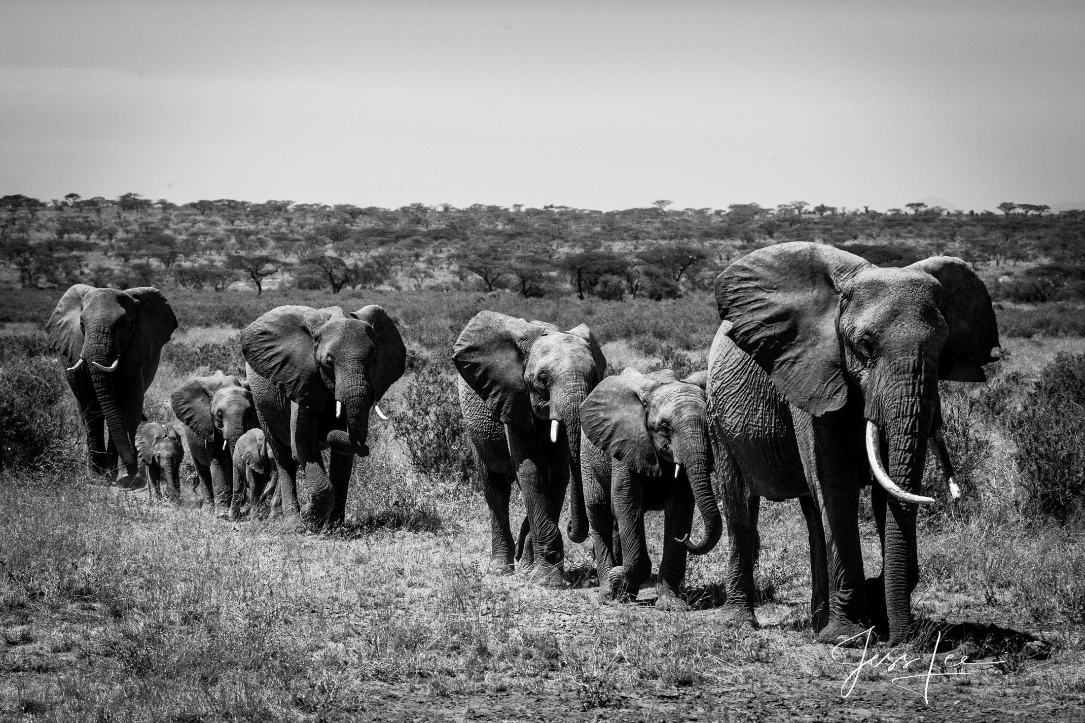 Black and White photo of African Elephant marching to water.