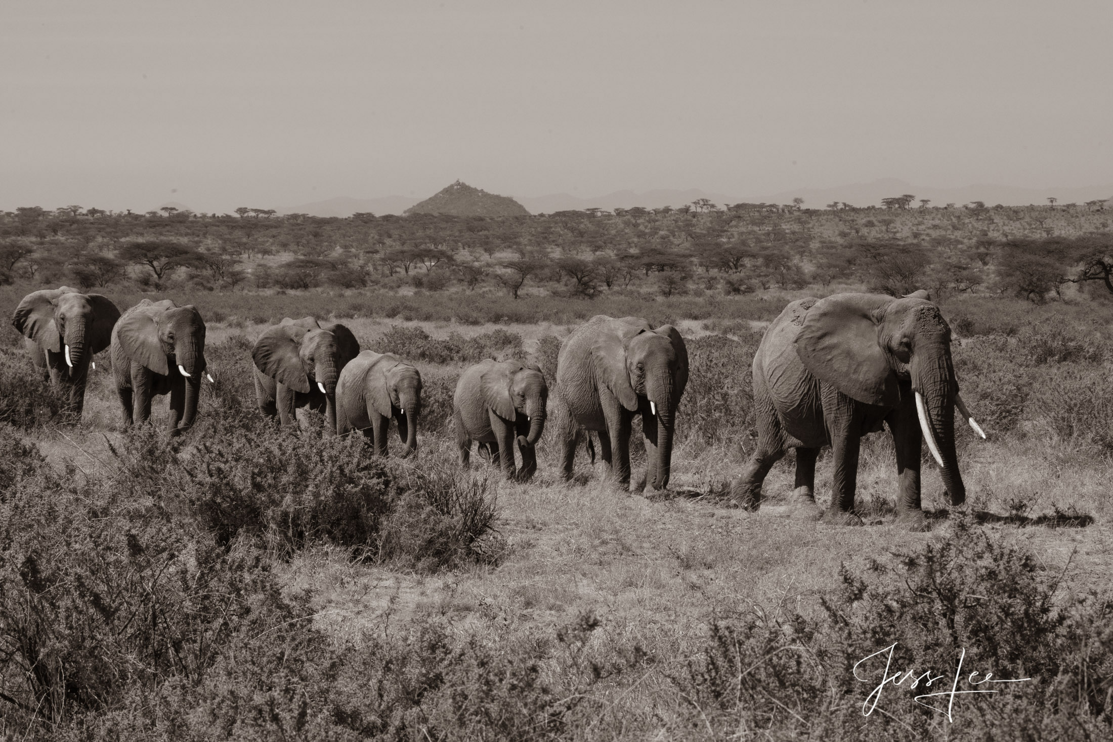 Black and White photo of African elephants walking to water.