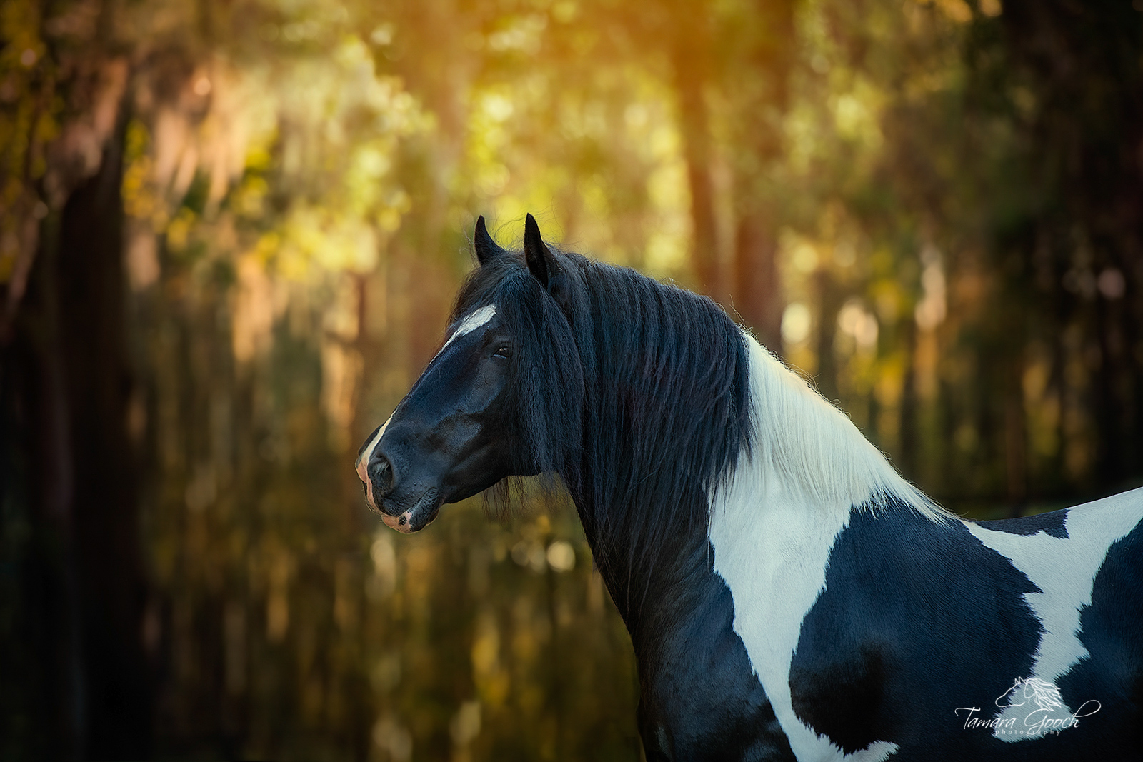 A gypsy vanner stallion photographed in Florida with beautiful light shining through the trees.
