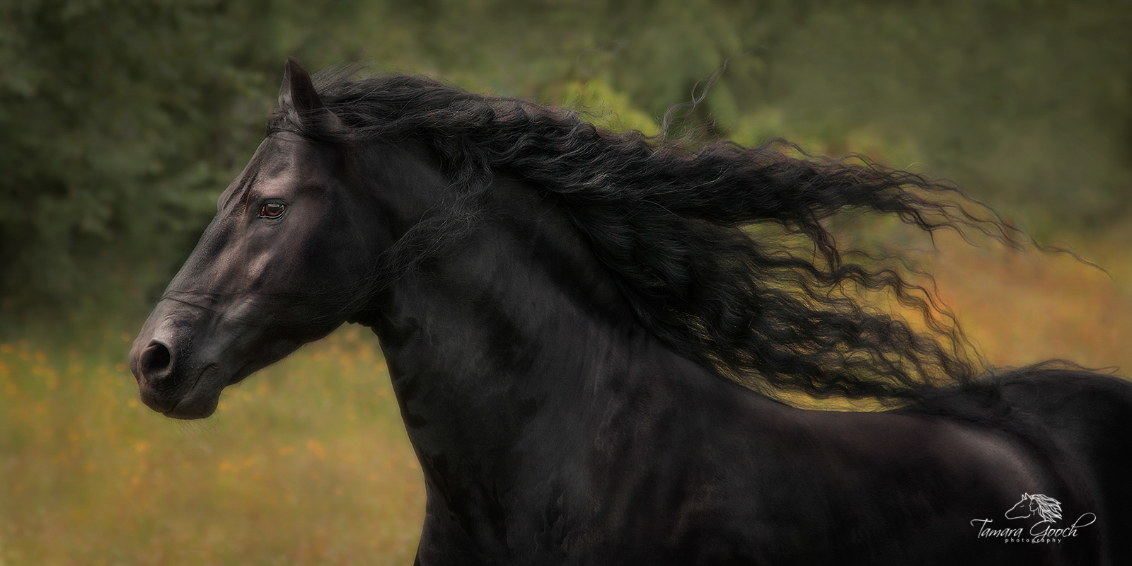 A photo of a Friesian stallion galloping through a spring field with his long mane flying.