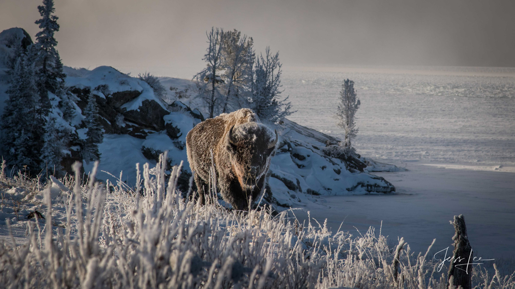 frozen buffalo, photo