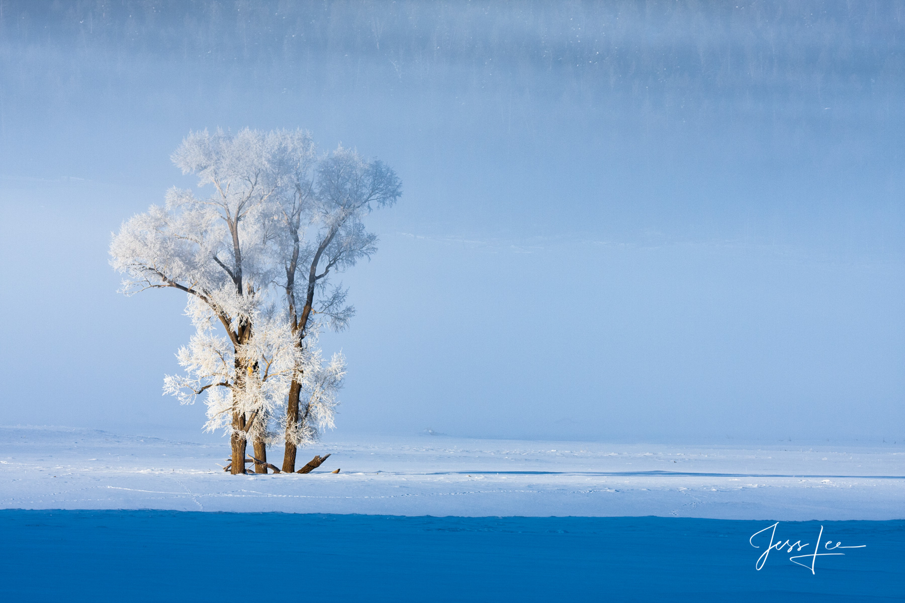 Frosted Cottonwood trees in Lamar Valley Yellowstone Photography,, photo
