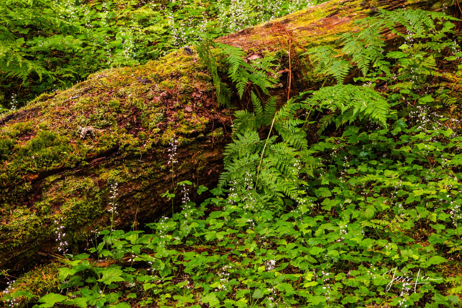 Fine Art Limited Edition of 200 Exclusive high-resolution Museum Quality Prints of Old Growth Forest Floor. Old-growth forests...
