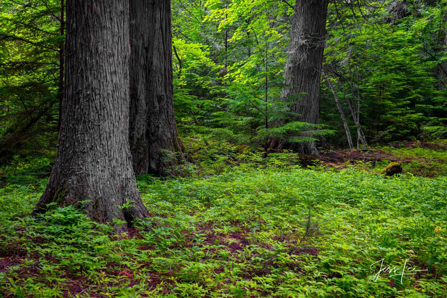 Glacier National Park's Forest Floor Trees Photo,, photo