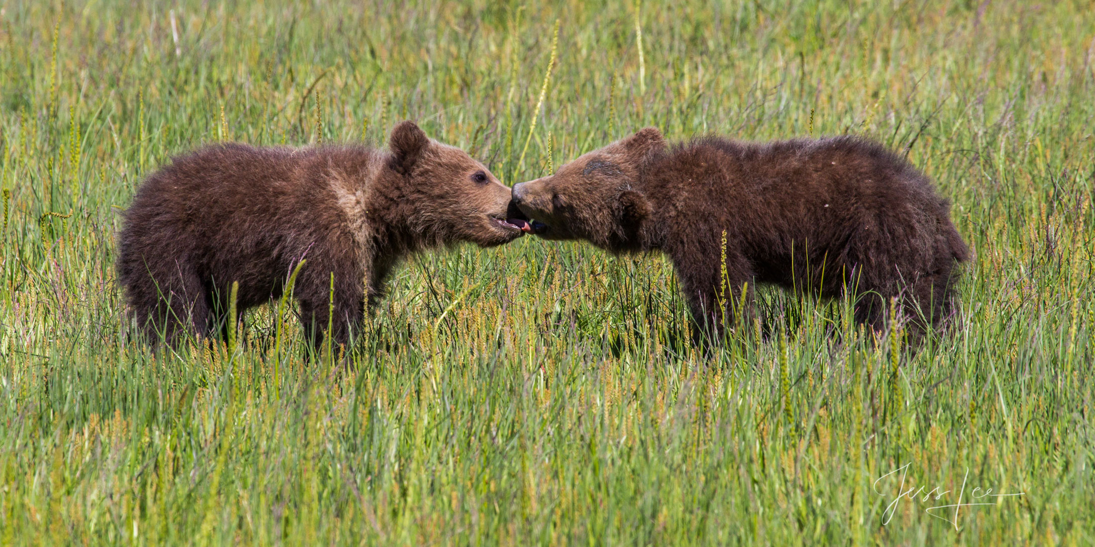 Enjoy the thrill of owning  Bear Photo # 154 from Jess Lee's Alaska Grizzly Bear limited edition photography print gallery....