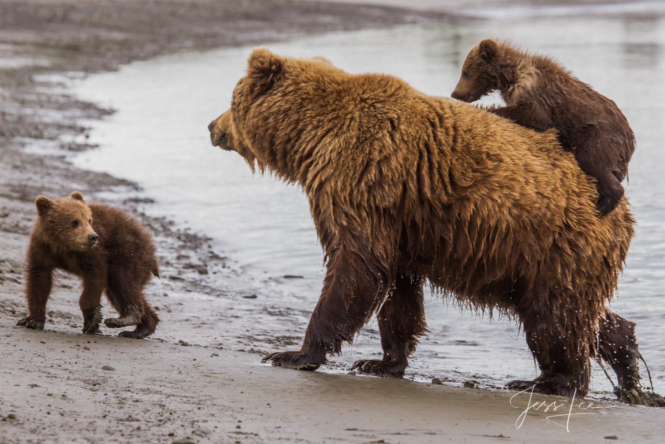 Grizzly, alaska, bear, brown, brown bear, coastal, lake clark, national park, Alaska*, bear*, brown bear*, brown bears*, brown*, coastal*, cubs*, grizzlies*, Grizzly*, Jess Lee*, Cooke inlet, legendar, photo