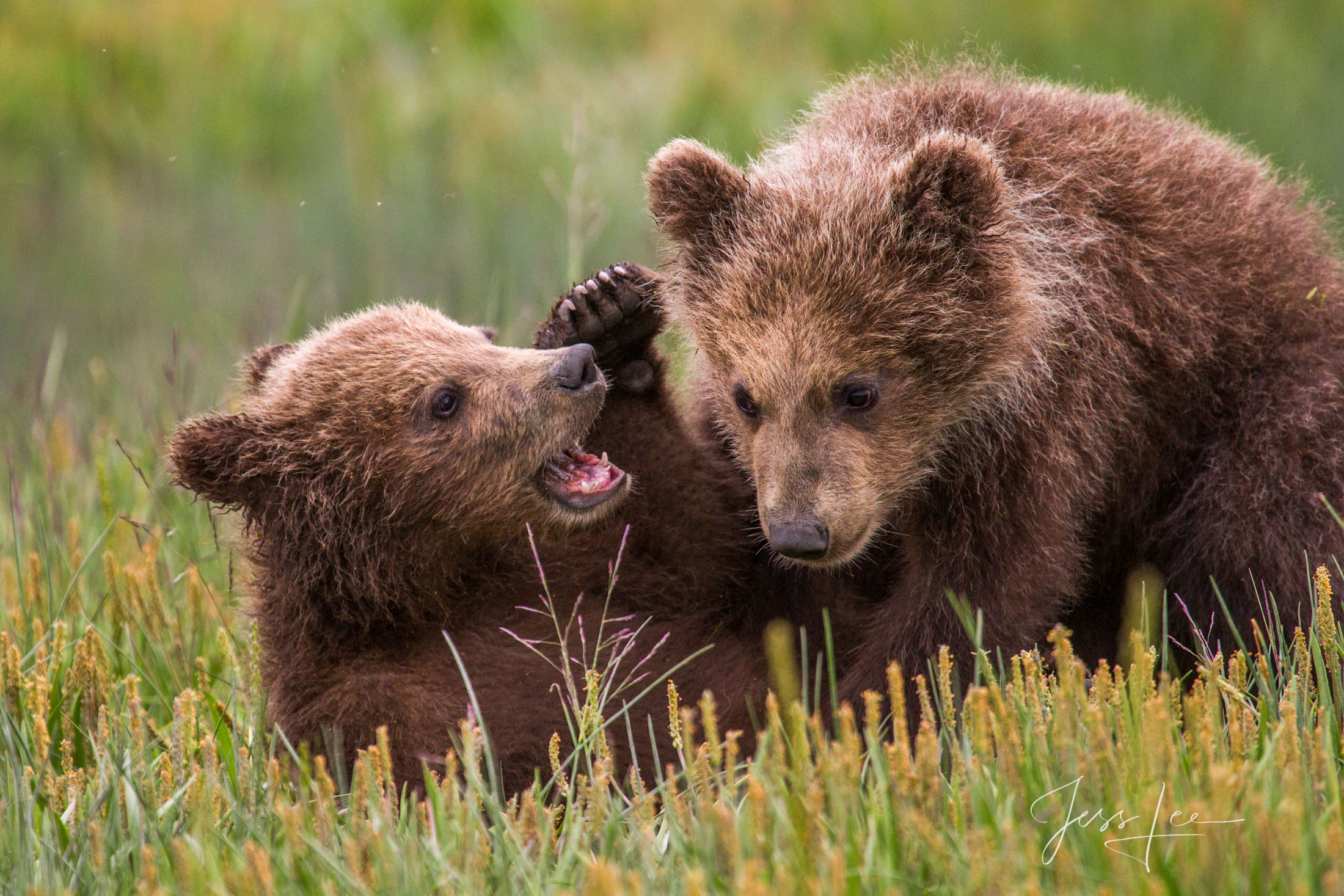 Grizzly, alaska, bear, brown, brown bear, coastal, lake clark, national park, Alaska*, bear*, brown bear*, brown bears*, brown*, coastal*, cubs*, grizzlies*, Grizzly*, Jess Lee*, Cooke inlet, legendar, photo