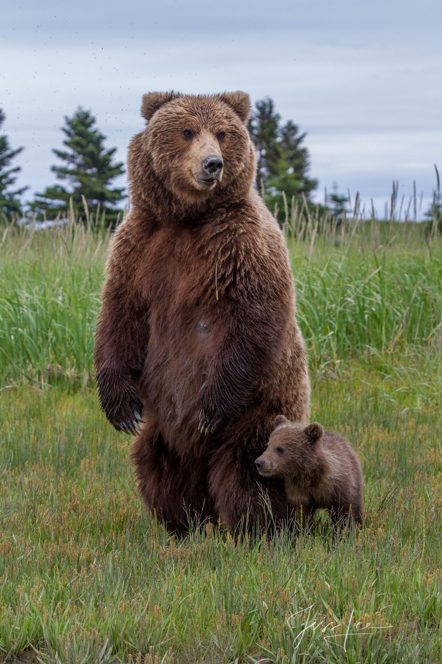 Grizzly or Brown Bear, standing with cub  Limited Edition Picture