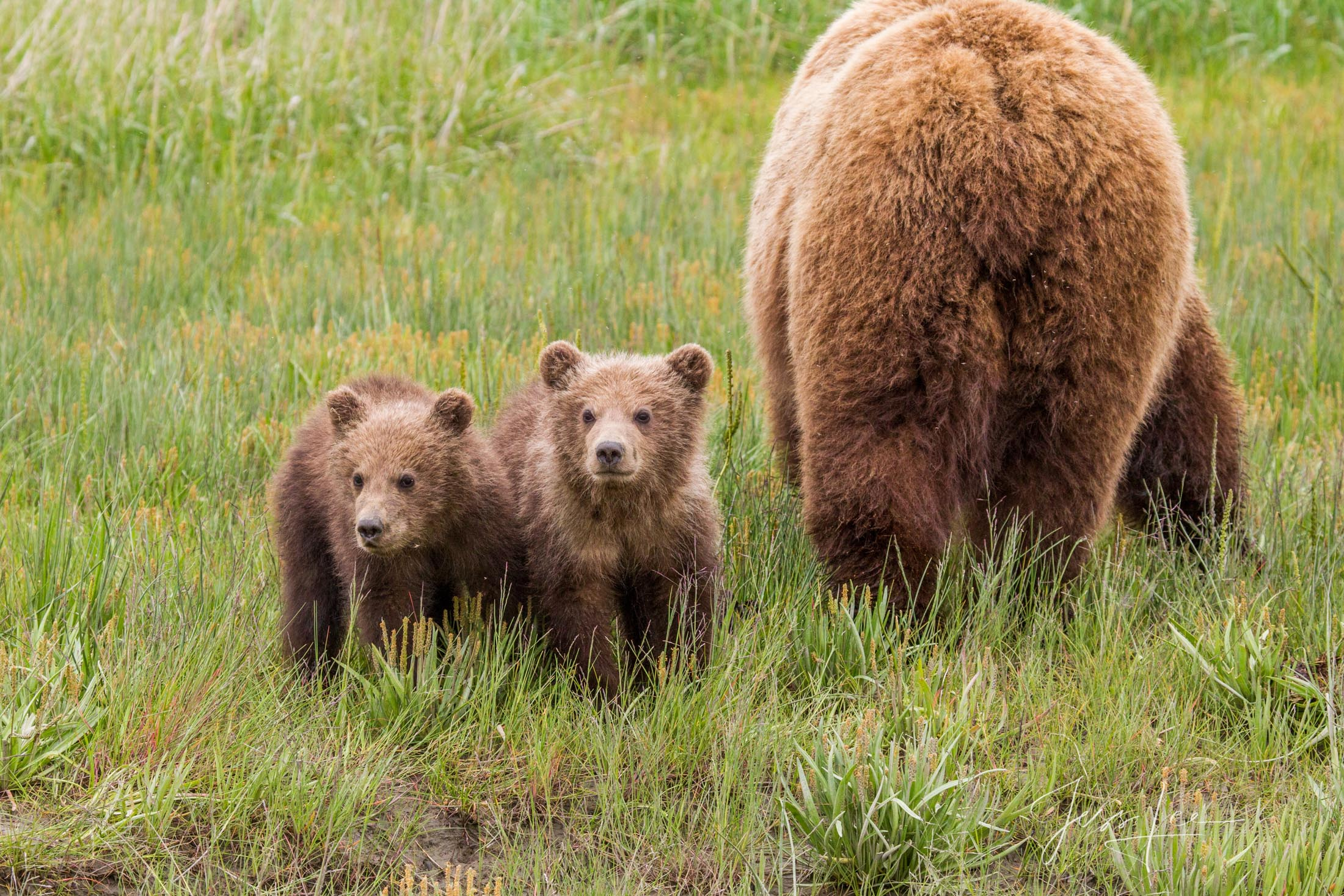 Grizzly Bear cubs watching photographers while mom feeds on grass, a   fine art limited edition of 300 prints