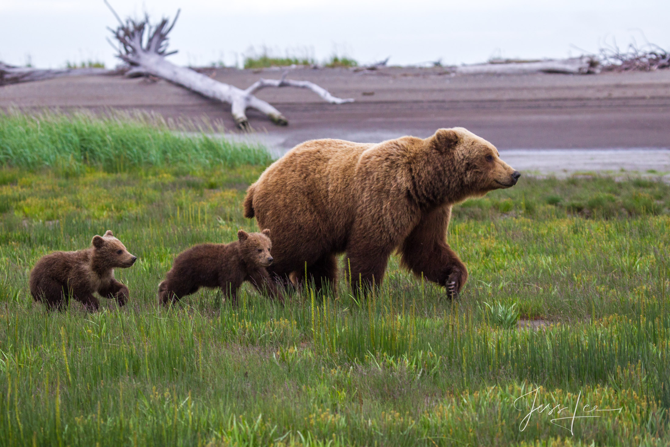 Grizzly Bear and two cubs fine art limited edition of 300 prints