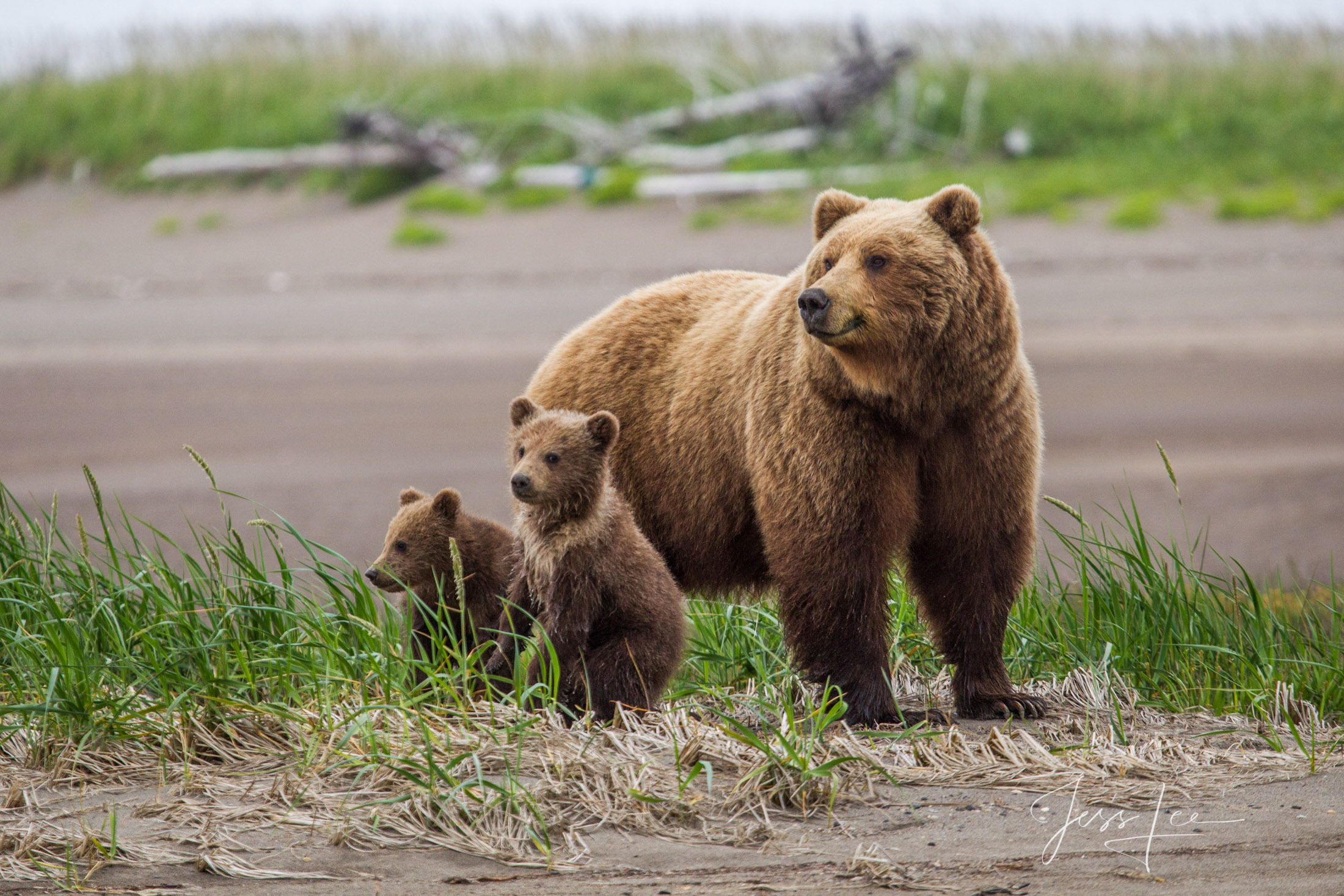 Grizzly Bear alert fine art limited edition of 300 prints