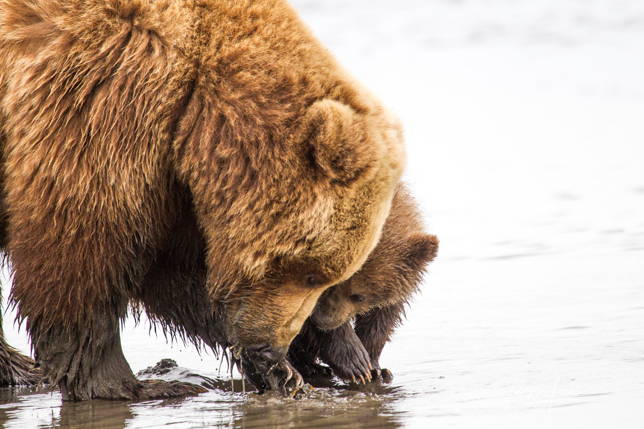 Grizzly Bear digging clams  fine art limited edition of 300 prints
