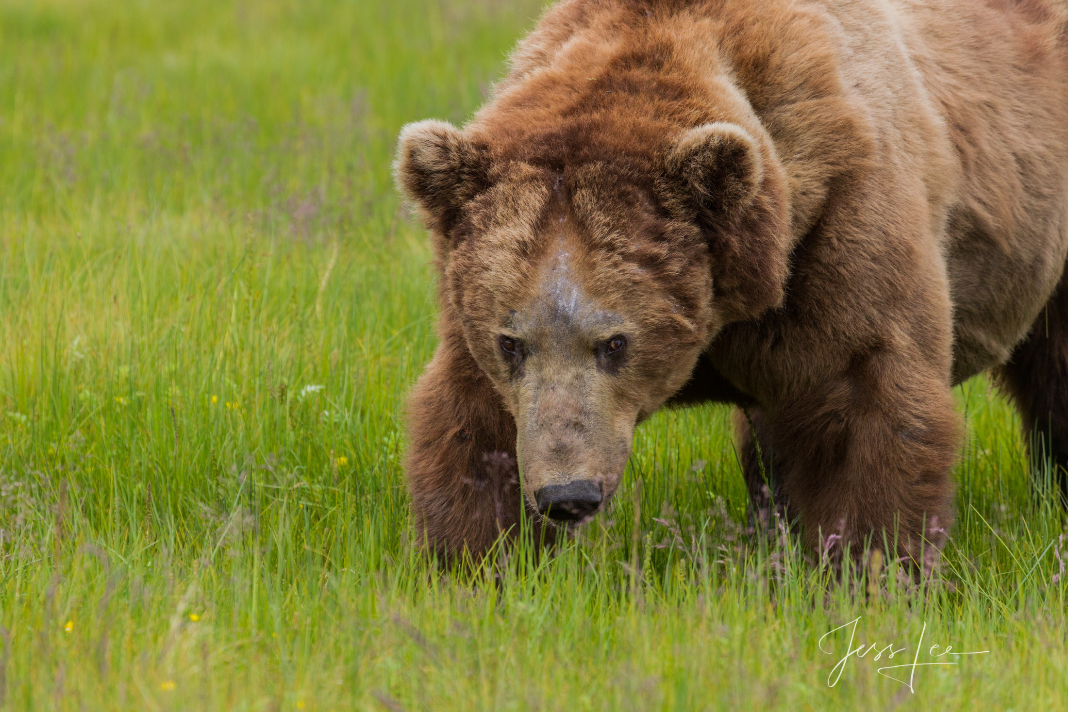 Grizzly Bear old male feeding fine art limited edition of 300 prints