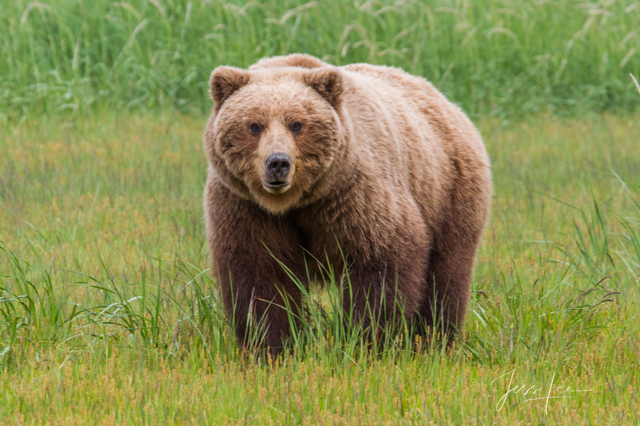 Grizzly Bear with spring coat fine art limited edition of 300 prints