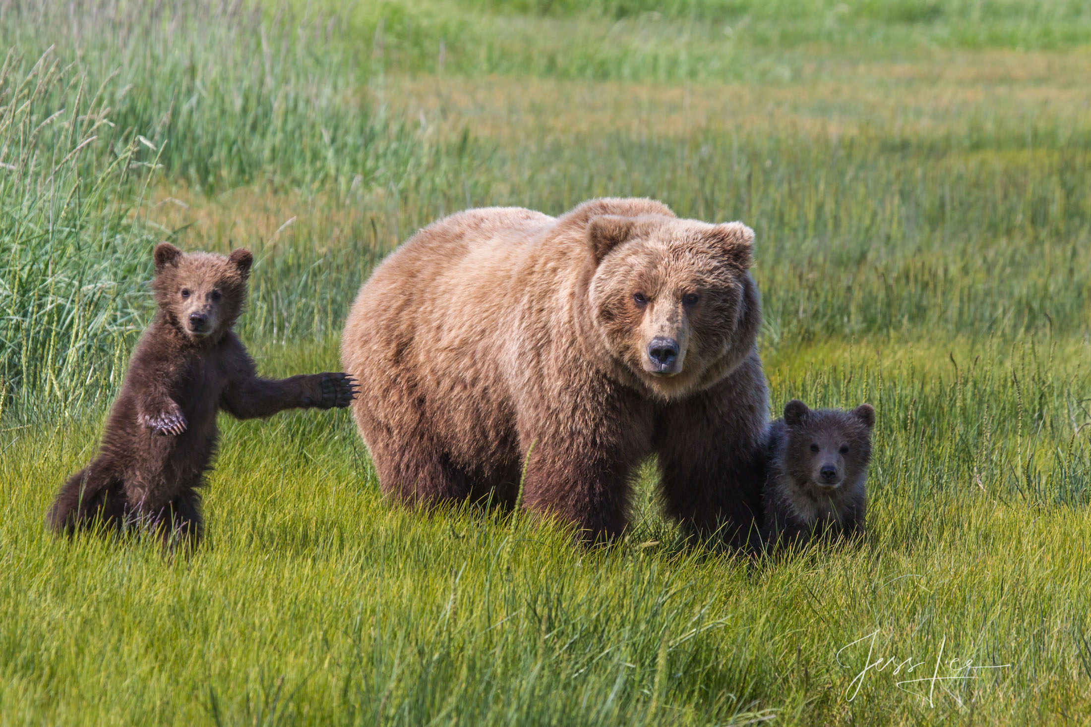 Grizzly / Brown Bear cubs,  Limited Edition Picture