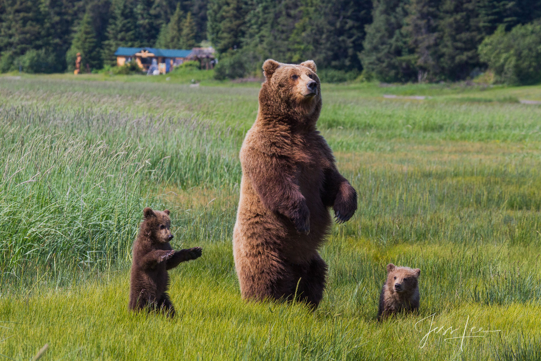 Grizzly bear mother and cubs standing tall in Alaskan prairie.
