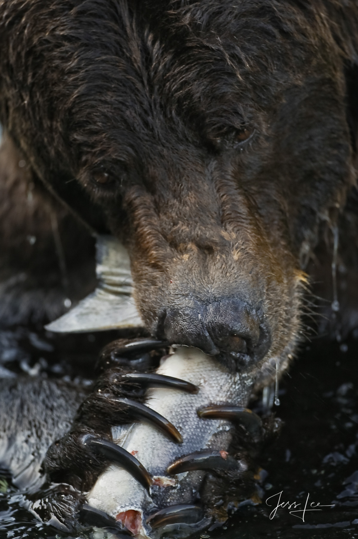 AK, Grizzly, alaska, bear, bear pictures, bears, brown, coastal, grizzlies, grizzly photos, images, photo, photography, photos, pictures, stock, landscape photography, Large format, quality, museum, f, photo