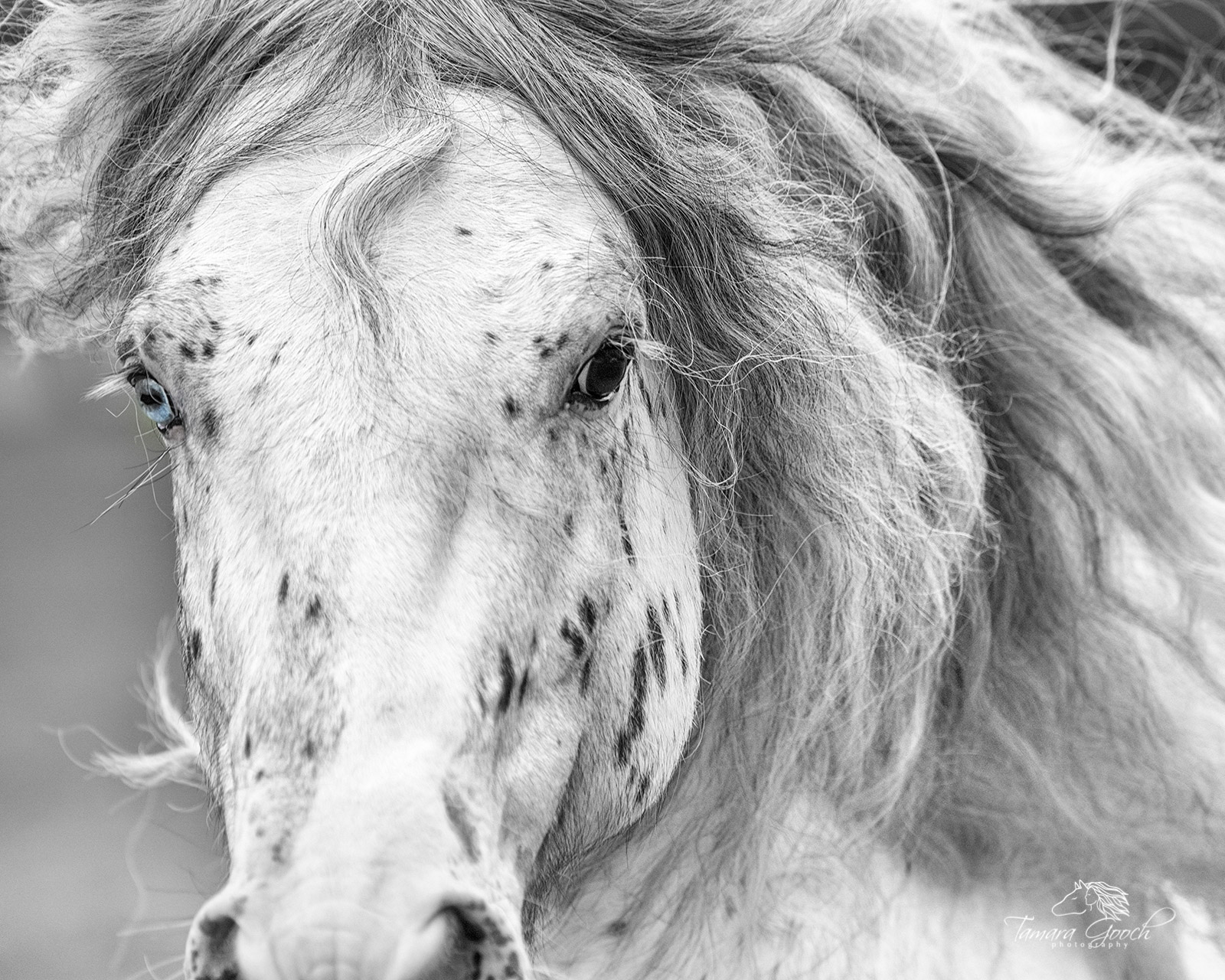 Gypsy Vanner, Gypsy horses, assignment, black and white, blue eye, commercial, editorial, equestrian, equestrian lifestyle, equestrian lifestyle photos, equine, equine photographer, equine photography, photo