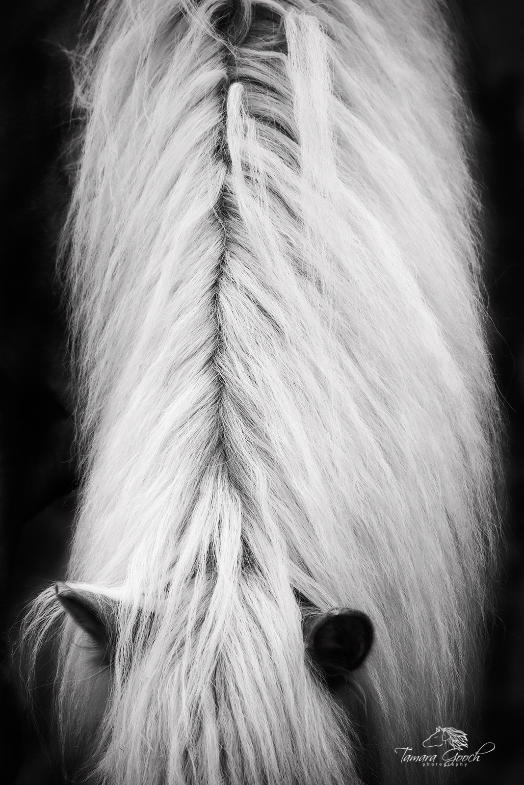 A fine art photograph of a horses mane and forelock in black and white.