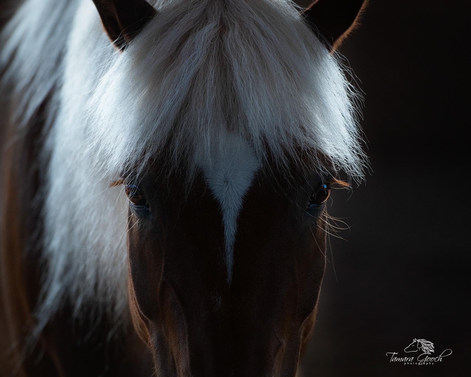 A horse portrait, head shot of a haflinger horse.