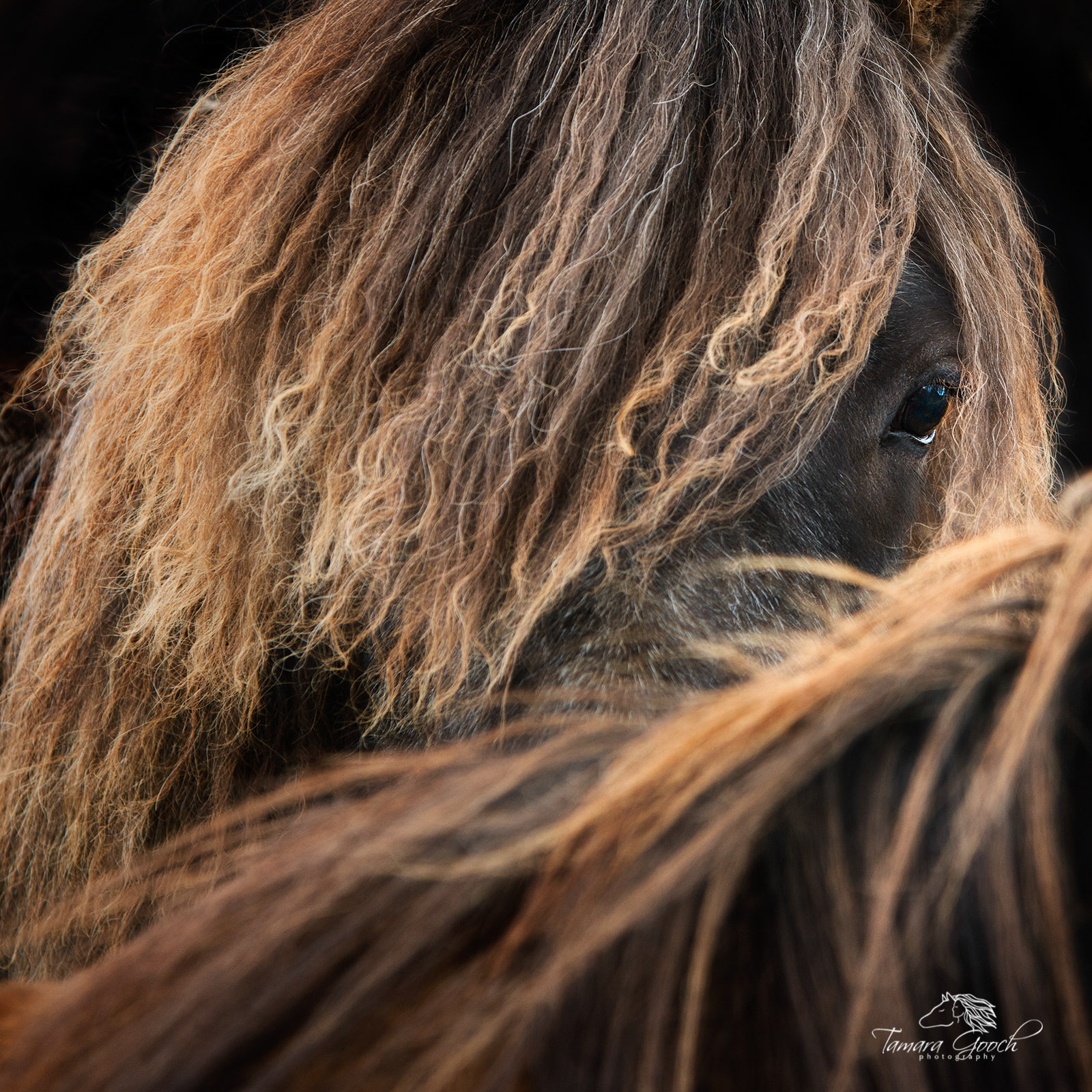 A photo of an Icelandic horse peaking over the neck of another.