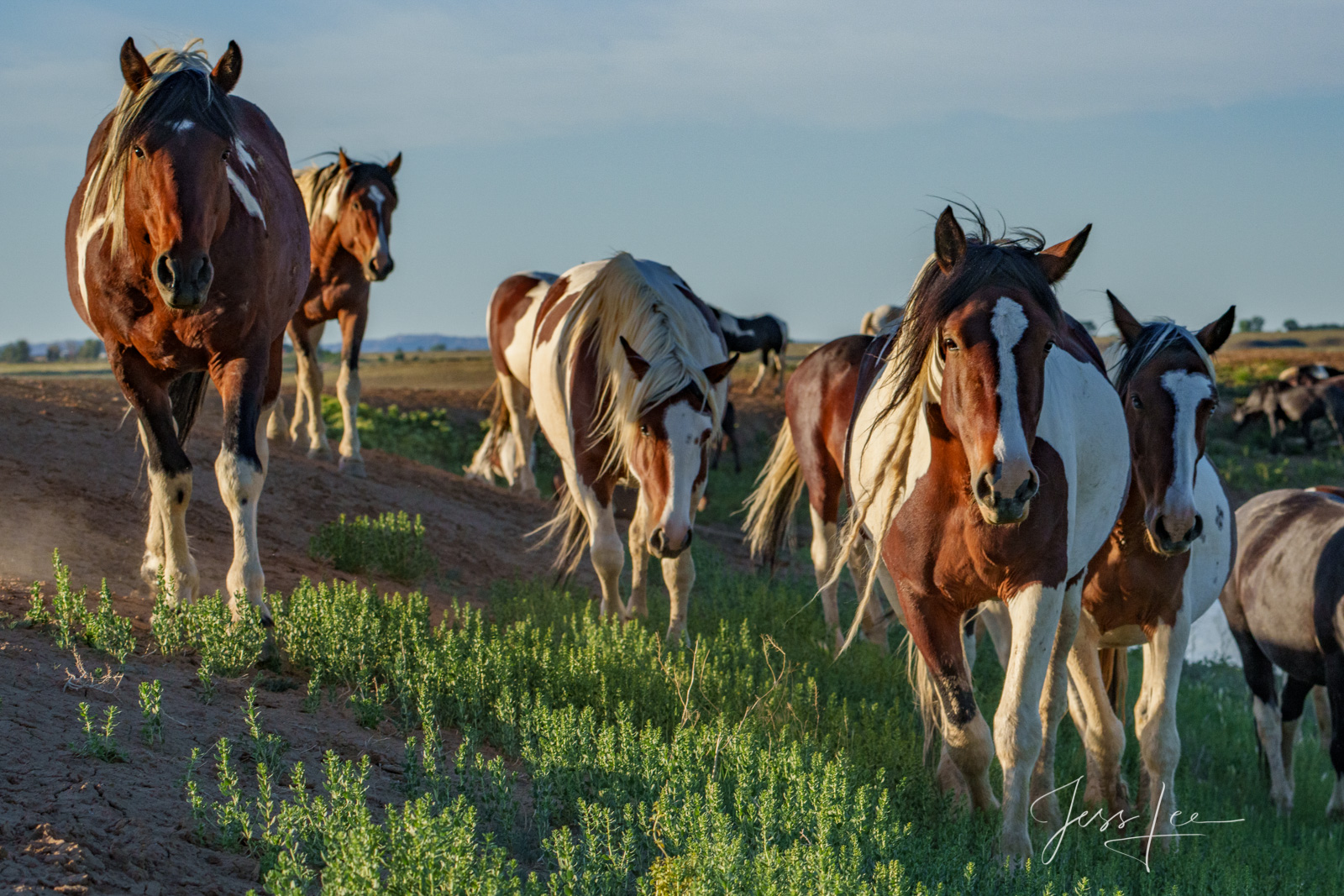 Fine Art Limited Edition Photography of Wild Herd of Mustang Horses. Wild Horses or Mustang herd incoming . This is part of the...