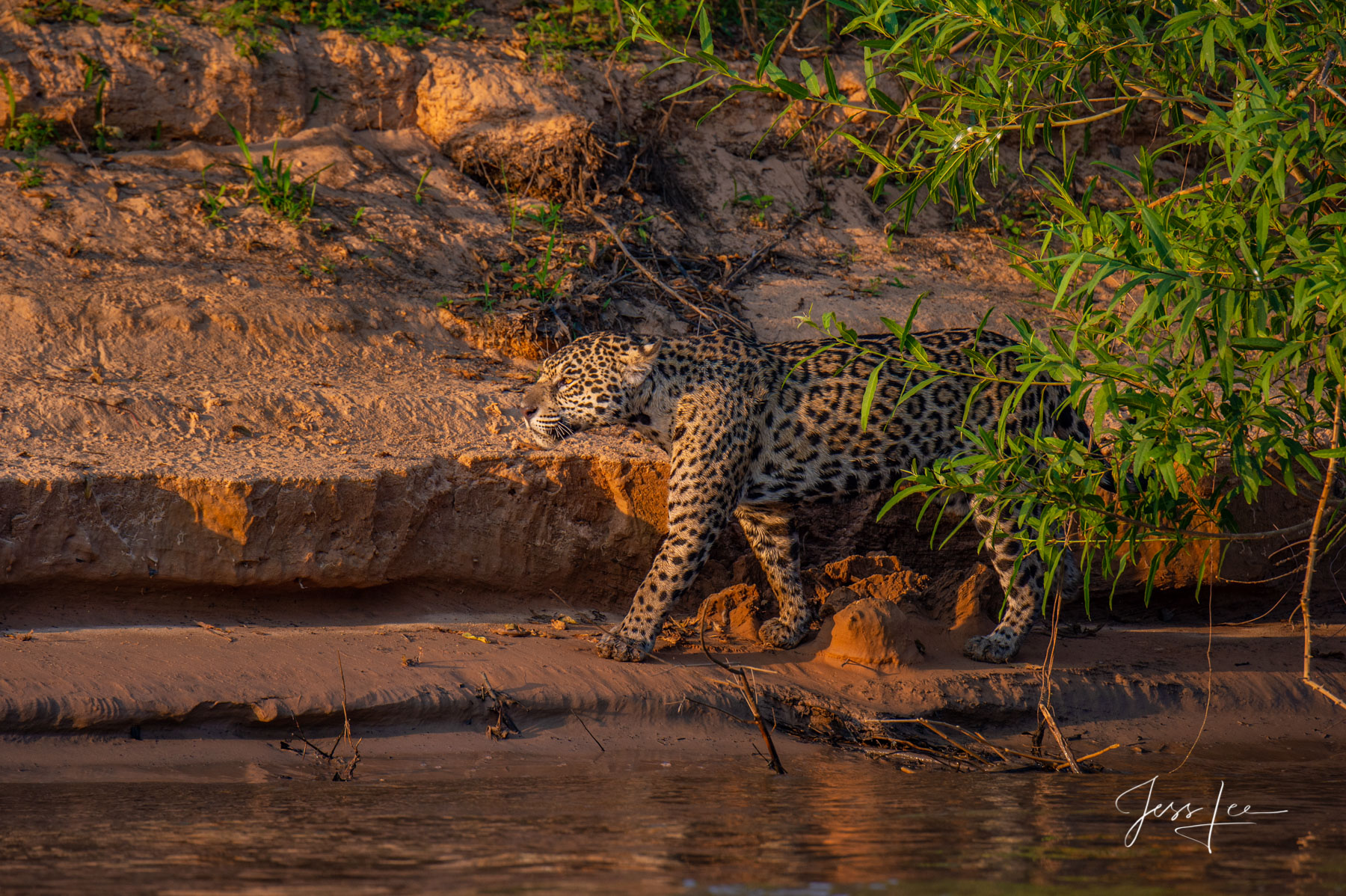 predator, cat, feline, wildlife, hunter, amazon, south America, big cat, copyright, jess lee, photographer,, photo