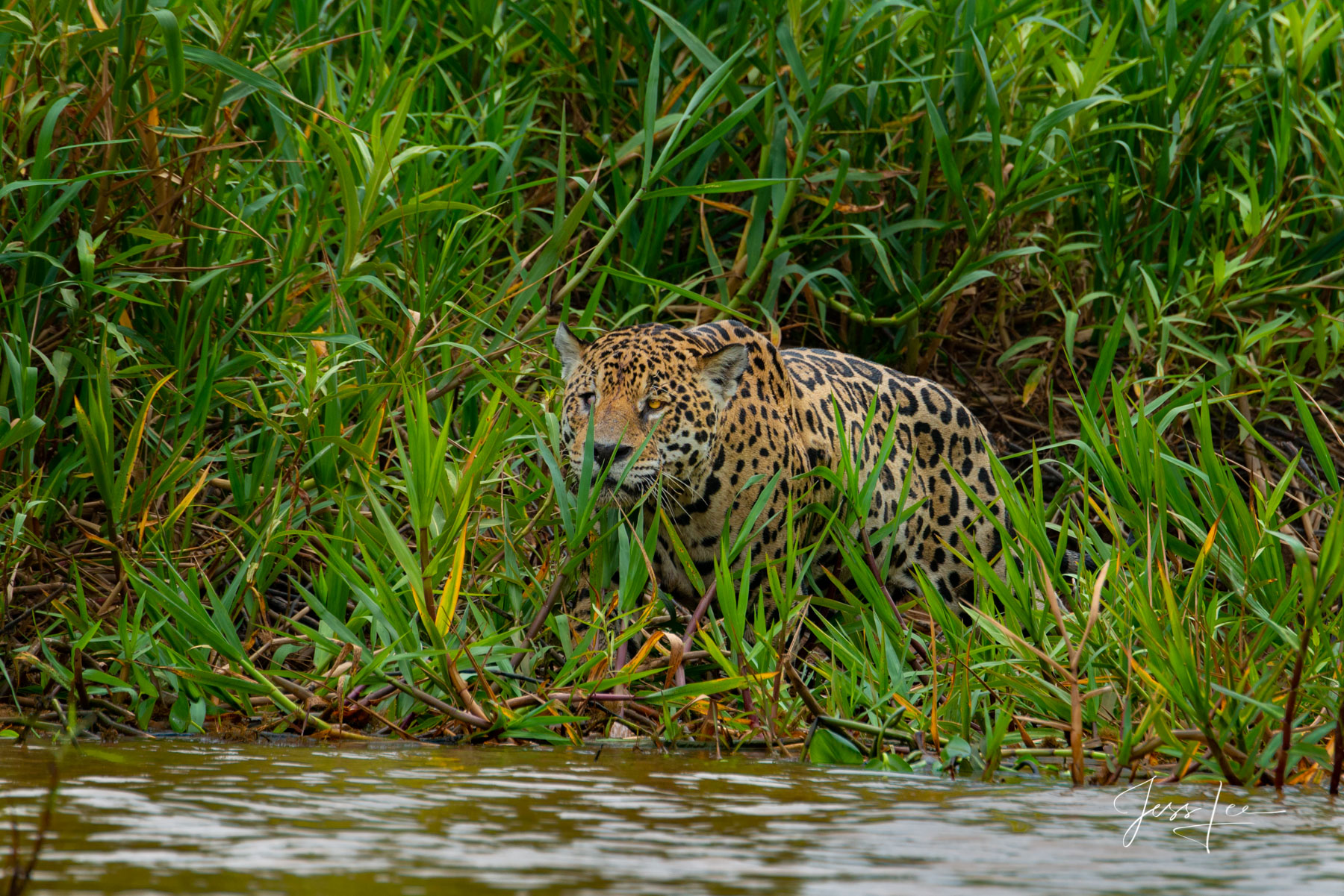 Fine art Jaguar huntingprint limited edition of 300 luxury prints by Jess Lee. All photographs copyright © Jess Lee