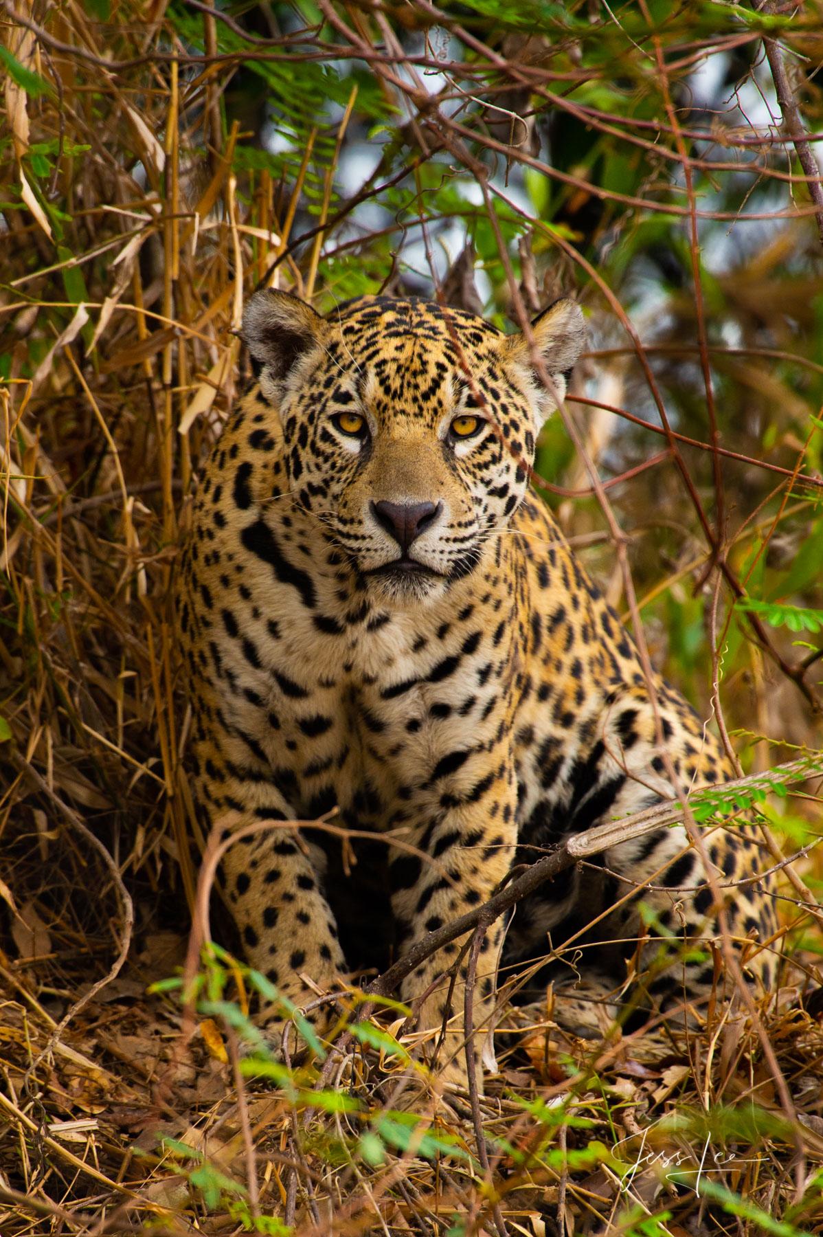 Fine art Jaguar print limited edition of 300 luxury prints by Jess Lee. All photographs copyright © Jess Lee