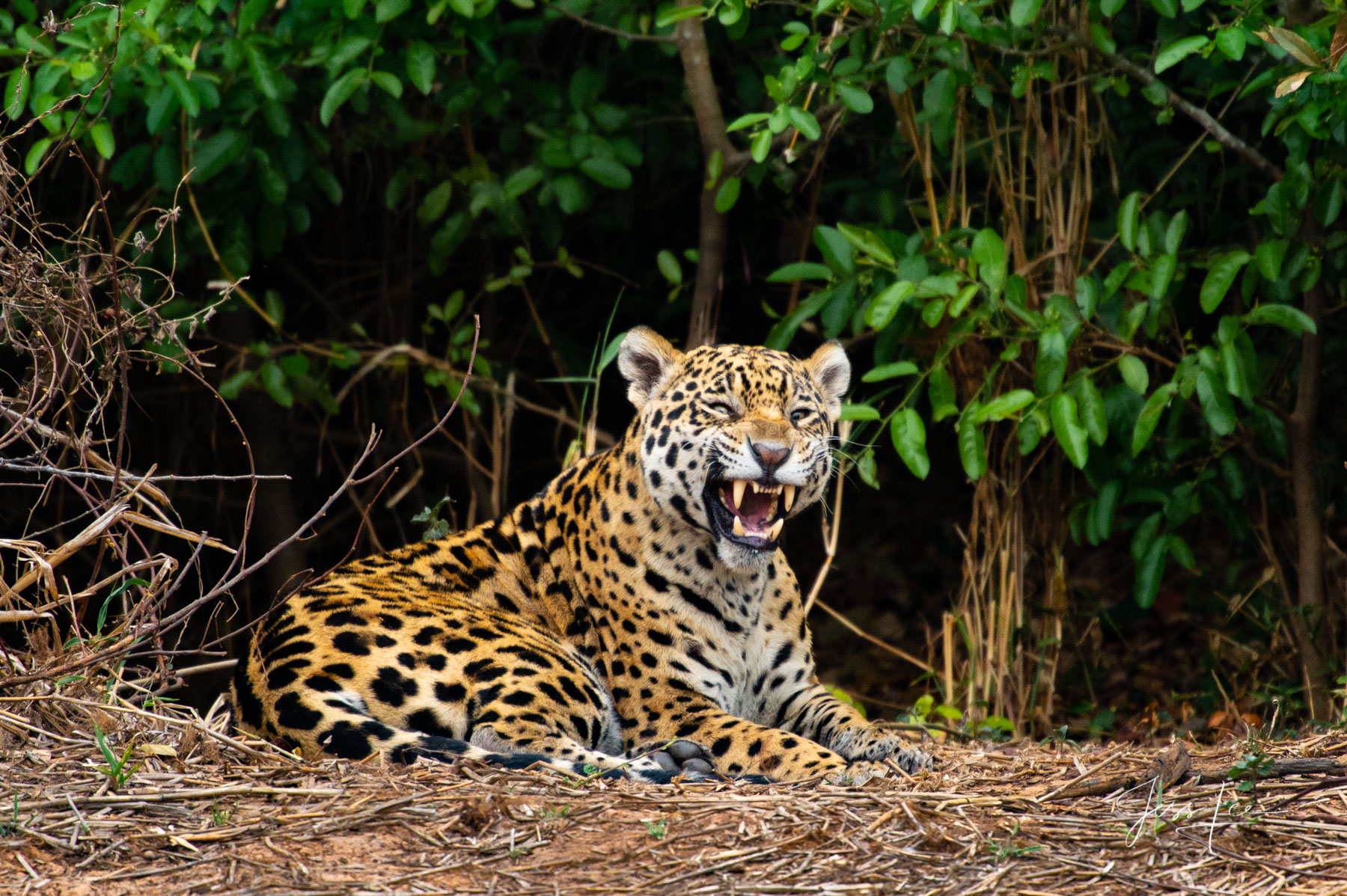 Fine art Jaguar with a big smile print limited edition of 300 luxury prints by Jess Lee. All photographs copyright © Jess Lee...