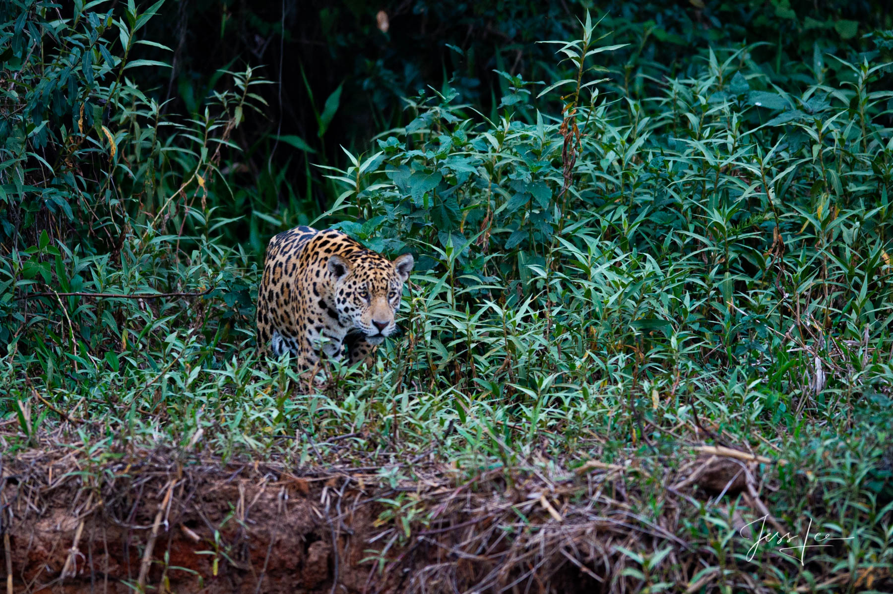 Fine art Jaguar in the brush print limited edition of 300 luxury prints by Jess Lee. All photographs copyright © Jess Lee