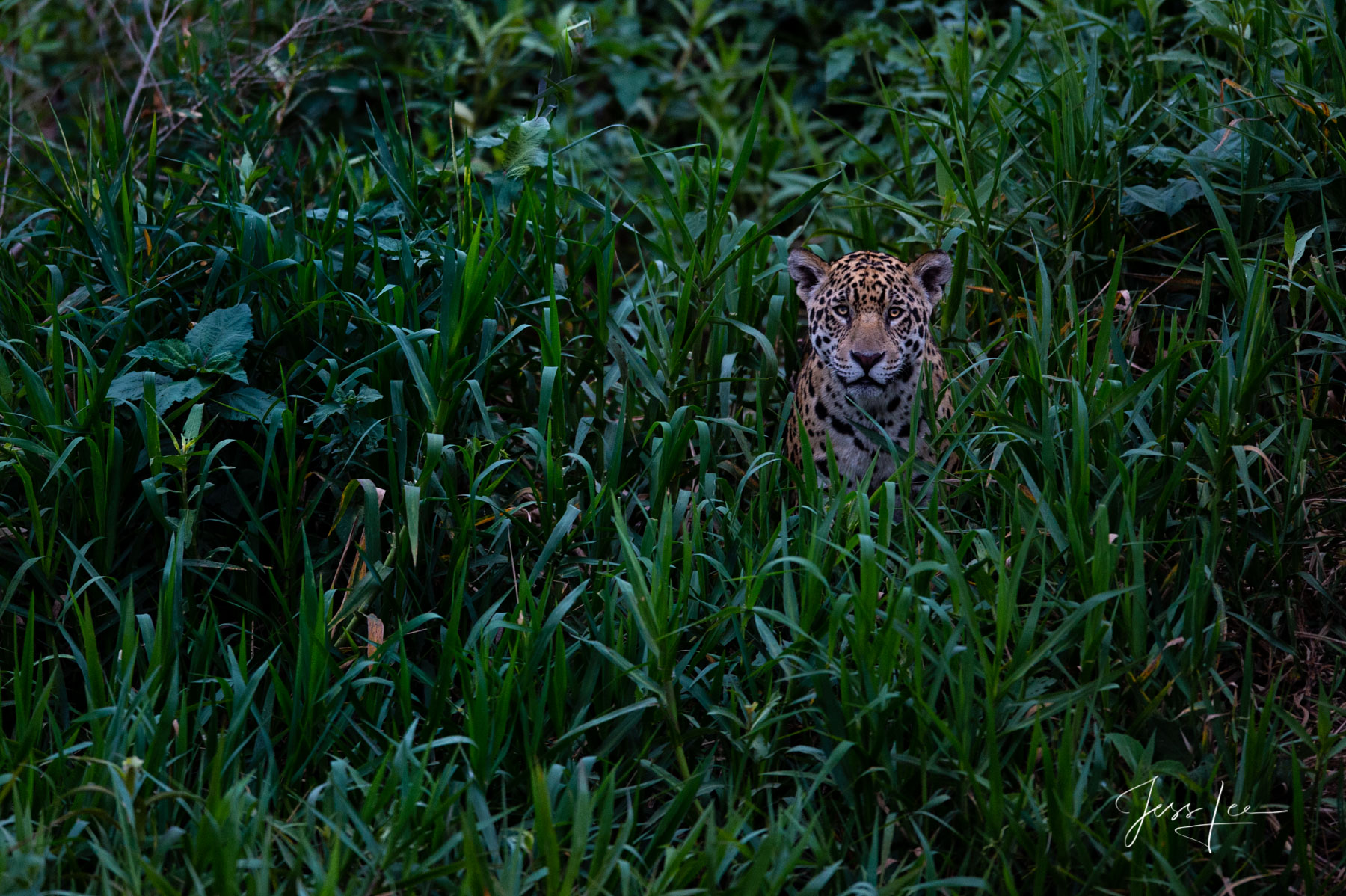 Fine art Jaguar waiting for the prey print limited edition of 300 luxury prints by Jess Lee. All photographs copyright © Jess...