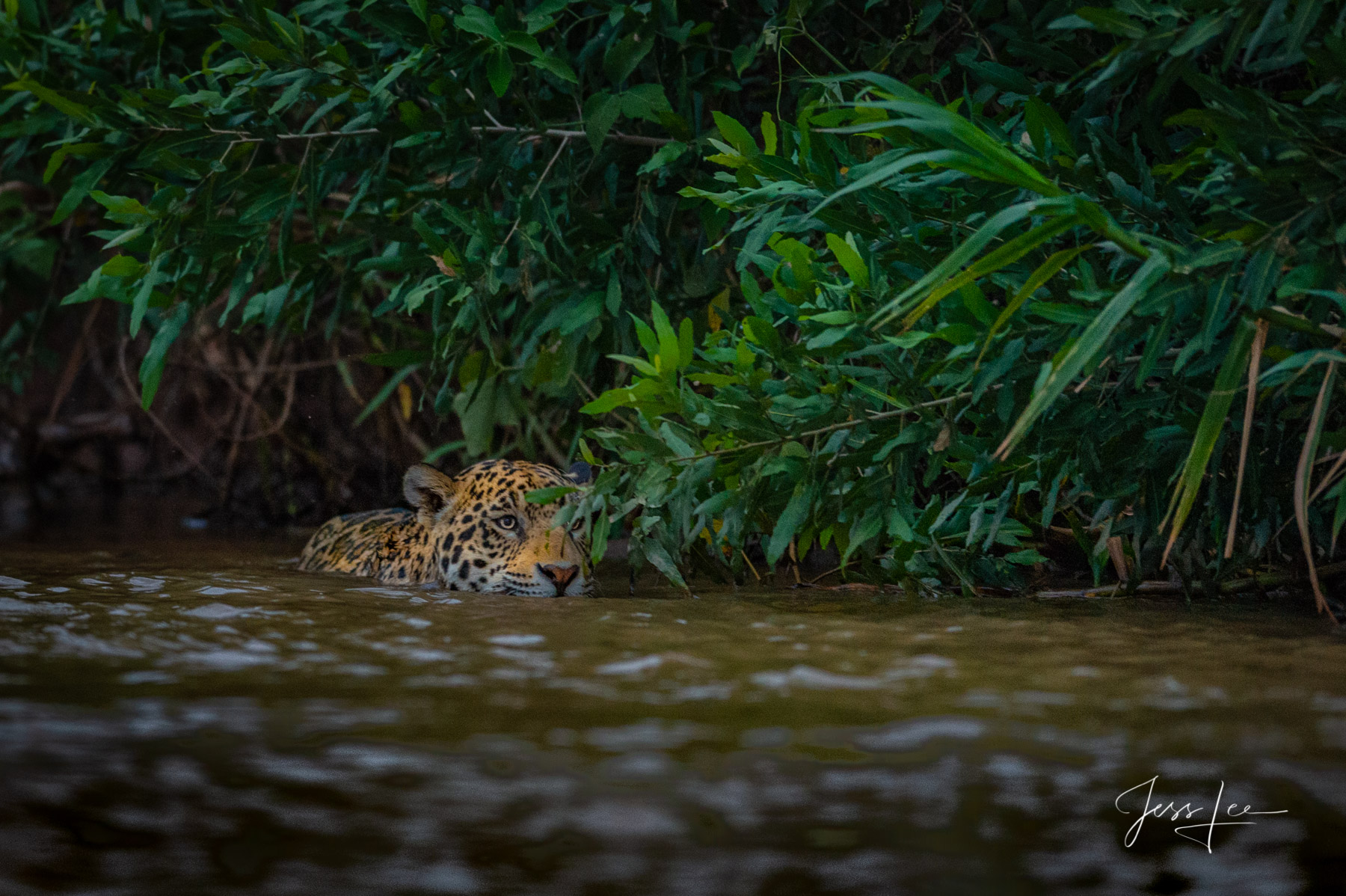 Fine art Jaguar print limited edition of 300 luxury prints by Jess Lee. All photographs copyright © Jess Lee