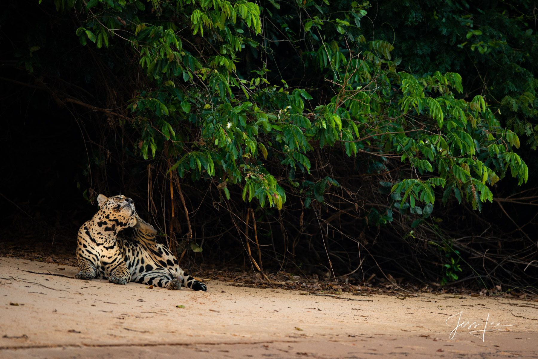 Fine art Jaguar scratching an itch print limited edition of 300 luxury prints by Jess Lee. All photographs copyright © Jess...