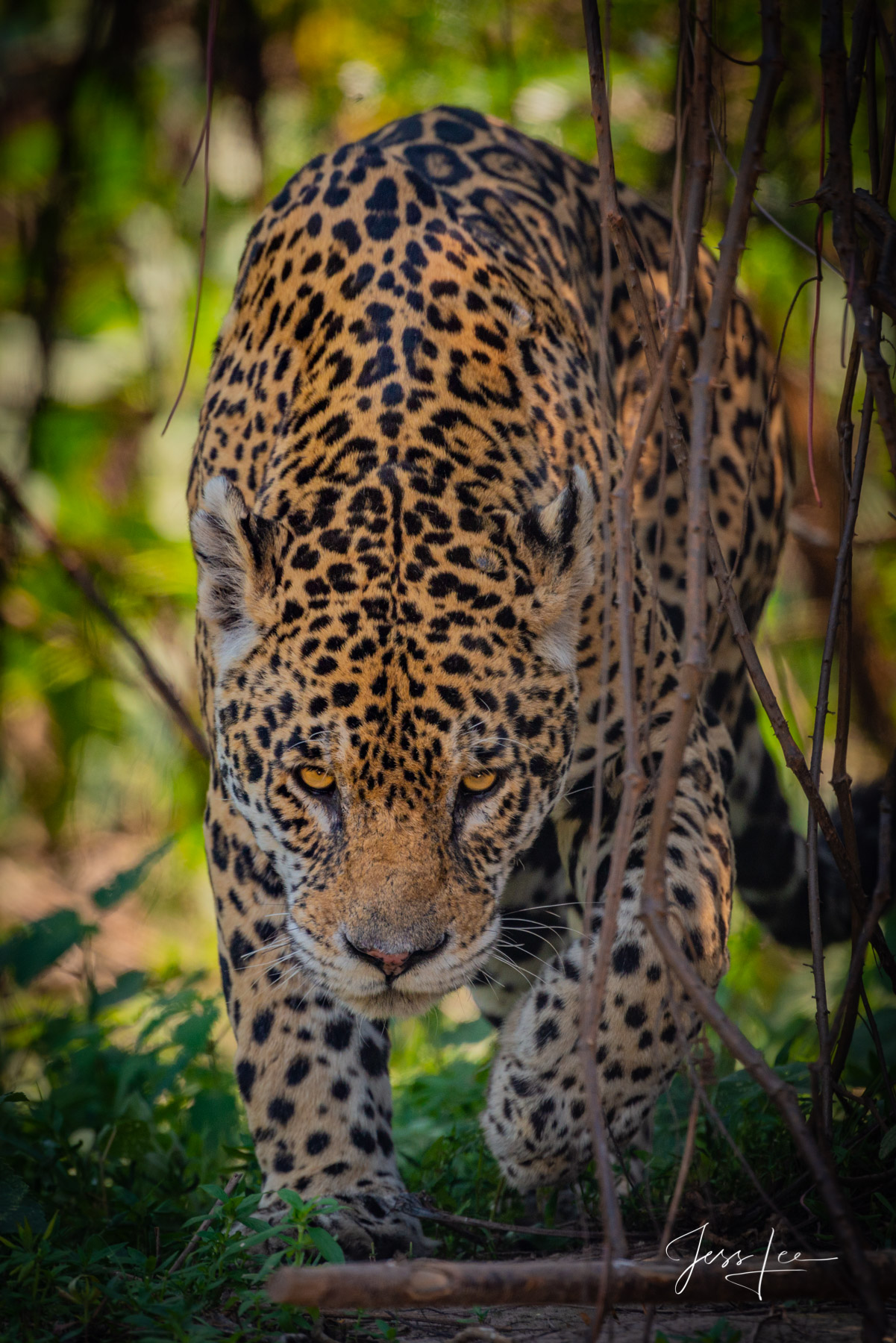 Fine art Jaguar stalking in silence print limited edition of 300 luxury prints by Jess Lee. All photographs copyright © Jess...