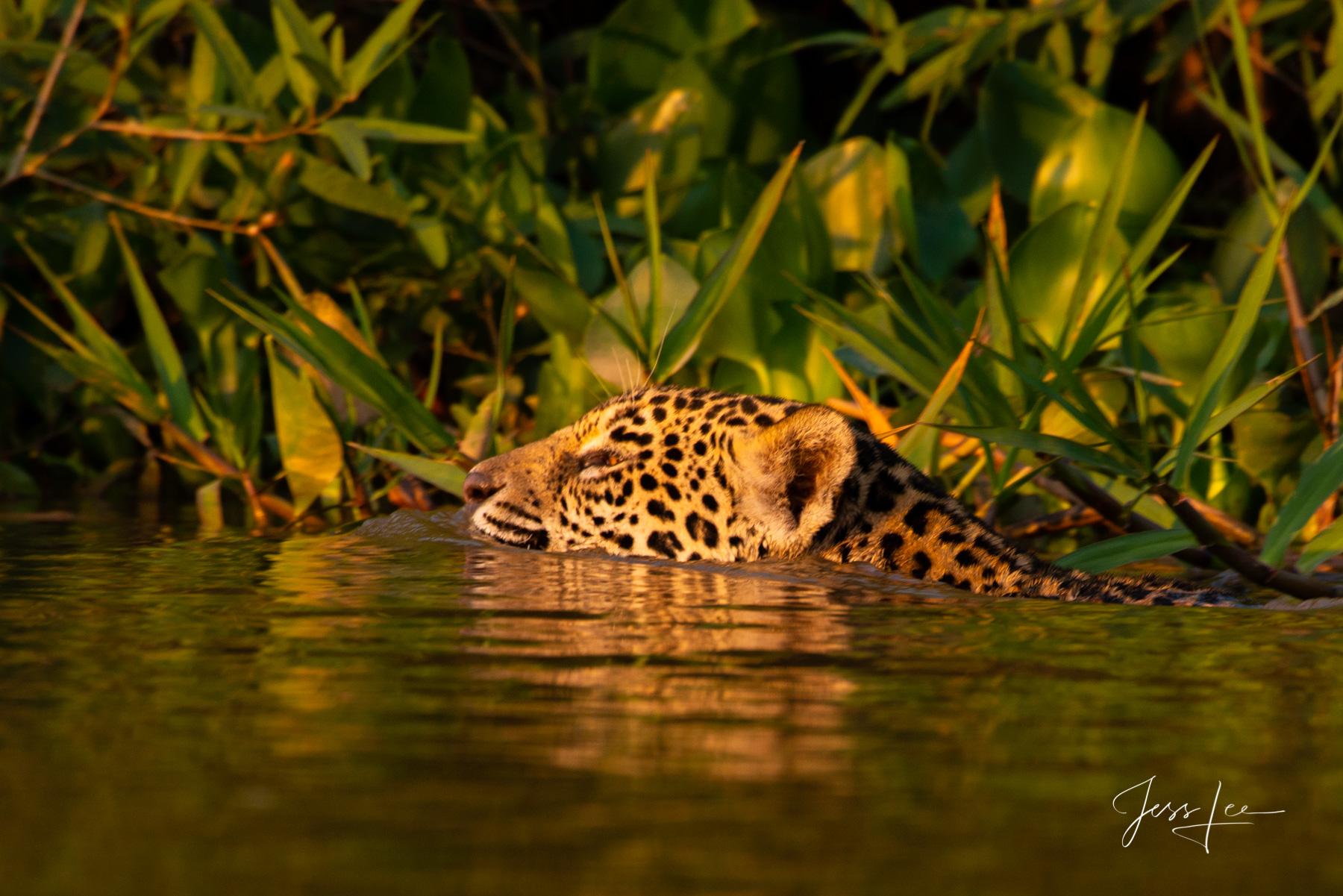 predator, cat, feline, wildlife, hunter, amazon, south America, big cat, copyright, jess lee, photographer,, photo