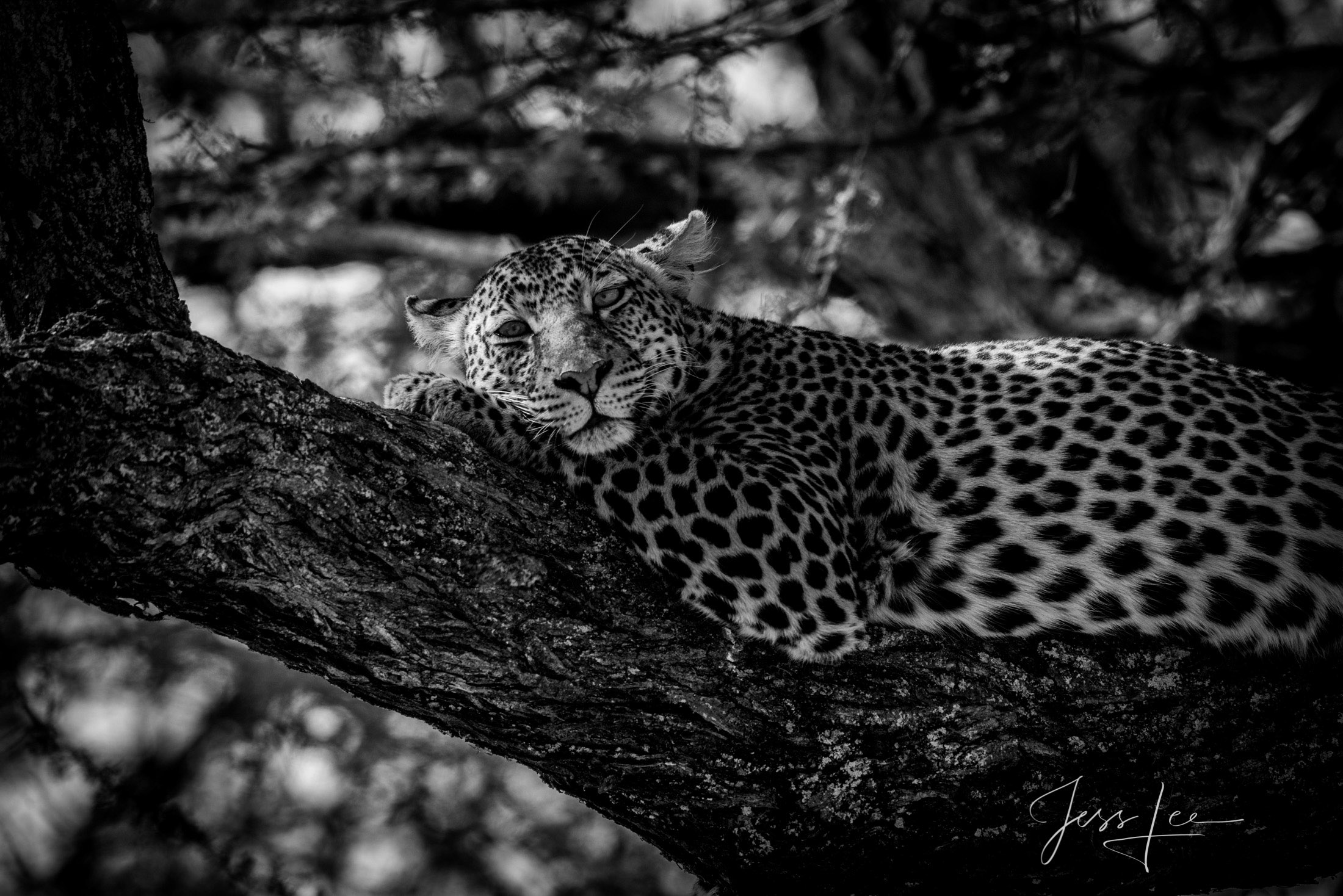 Black and White photo of African Leopard resting on a tree limb.