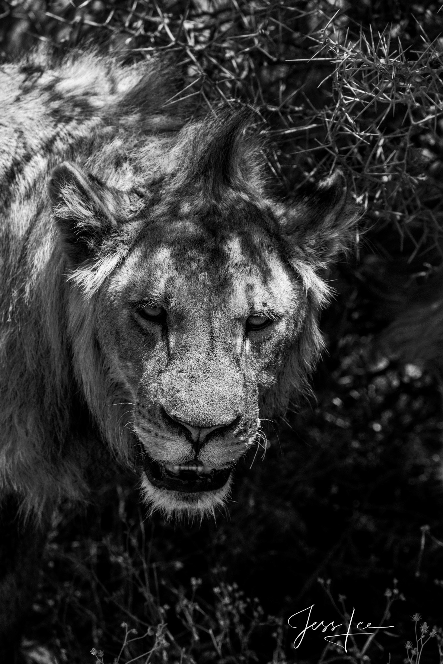 Black and White photo of African Lion Coming from the Dark.