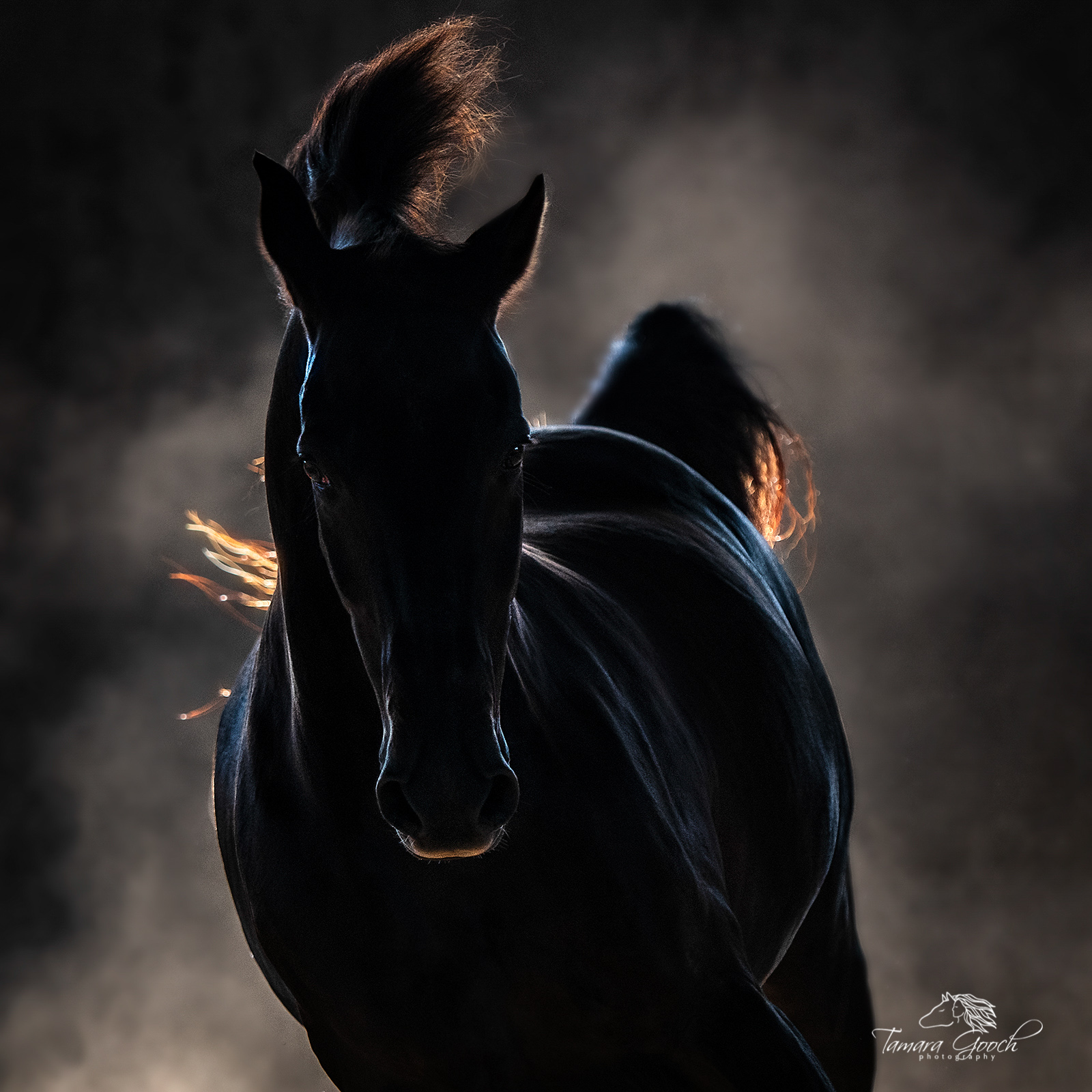 A photo of a morgan horse at liberty back lit with dust in the background.