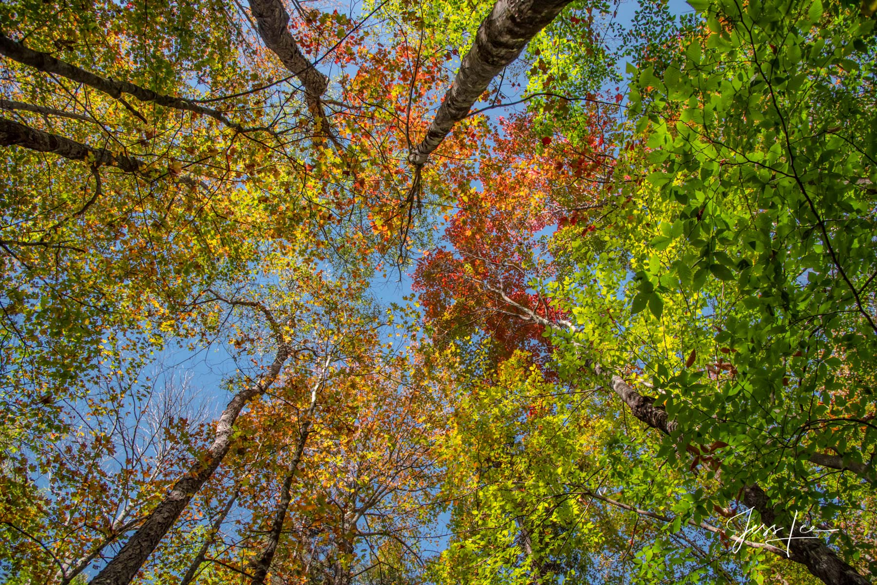 Fine Art Limited Edition of 200 Exclusive high-resolution Museum Quality Prints of Looking up at New England Autumn trees. Photo...