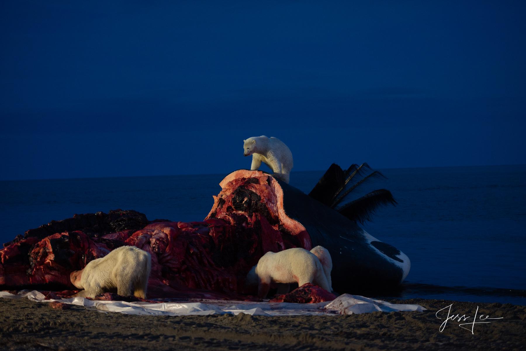 Limited Edition Wildlife photos. Polar Bears feeding on Bowhead Whale.