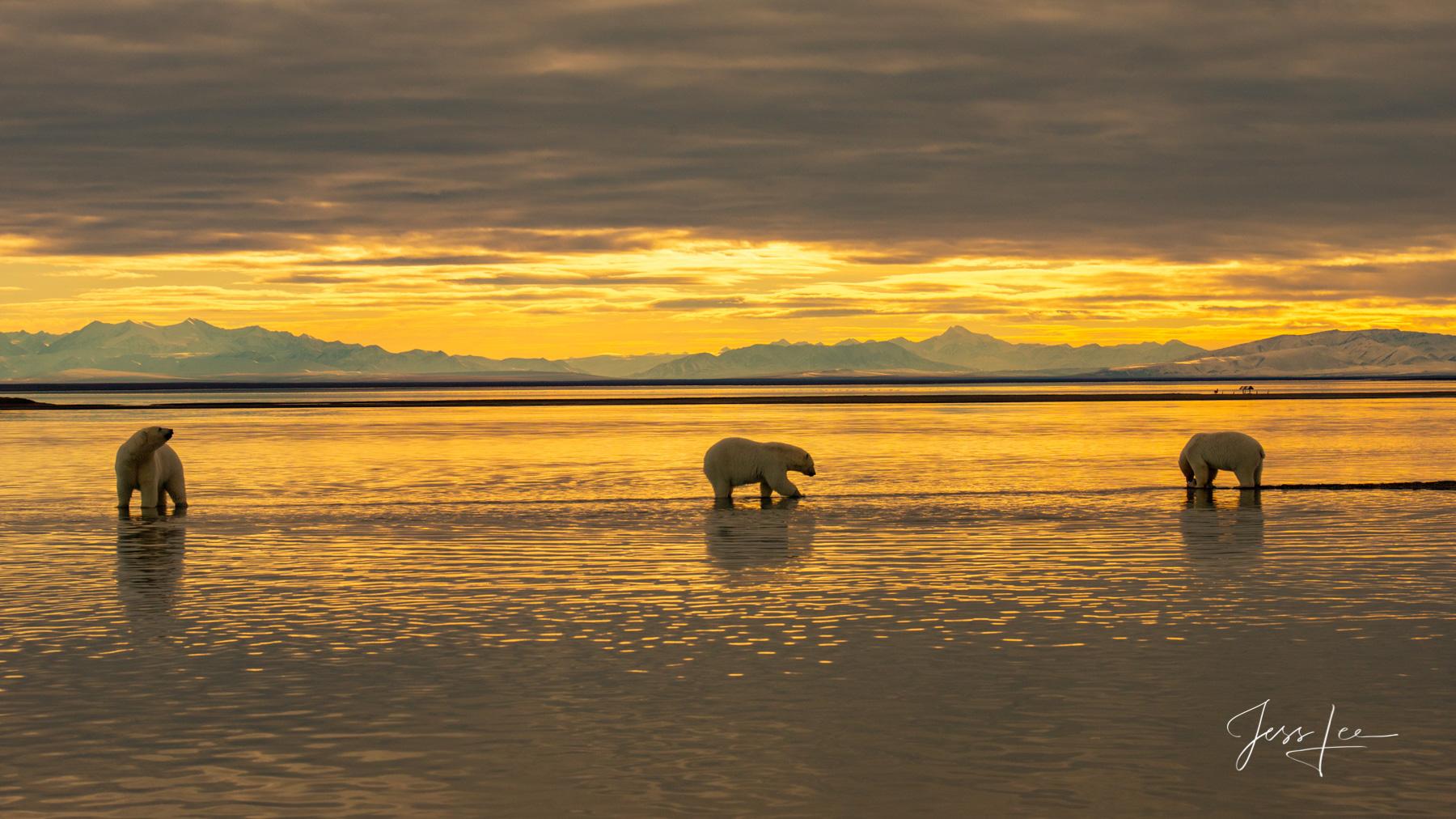 Limited Edition Polar Bear Wildlife photos