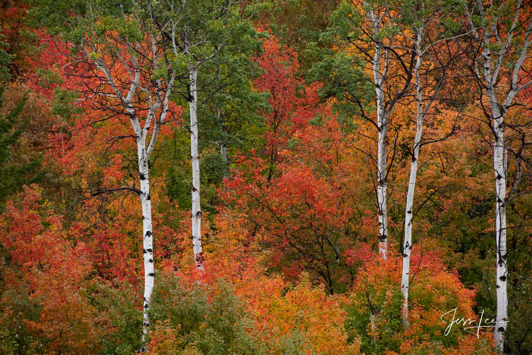 Photography of mountain fall color trees along the Snake River., photo