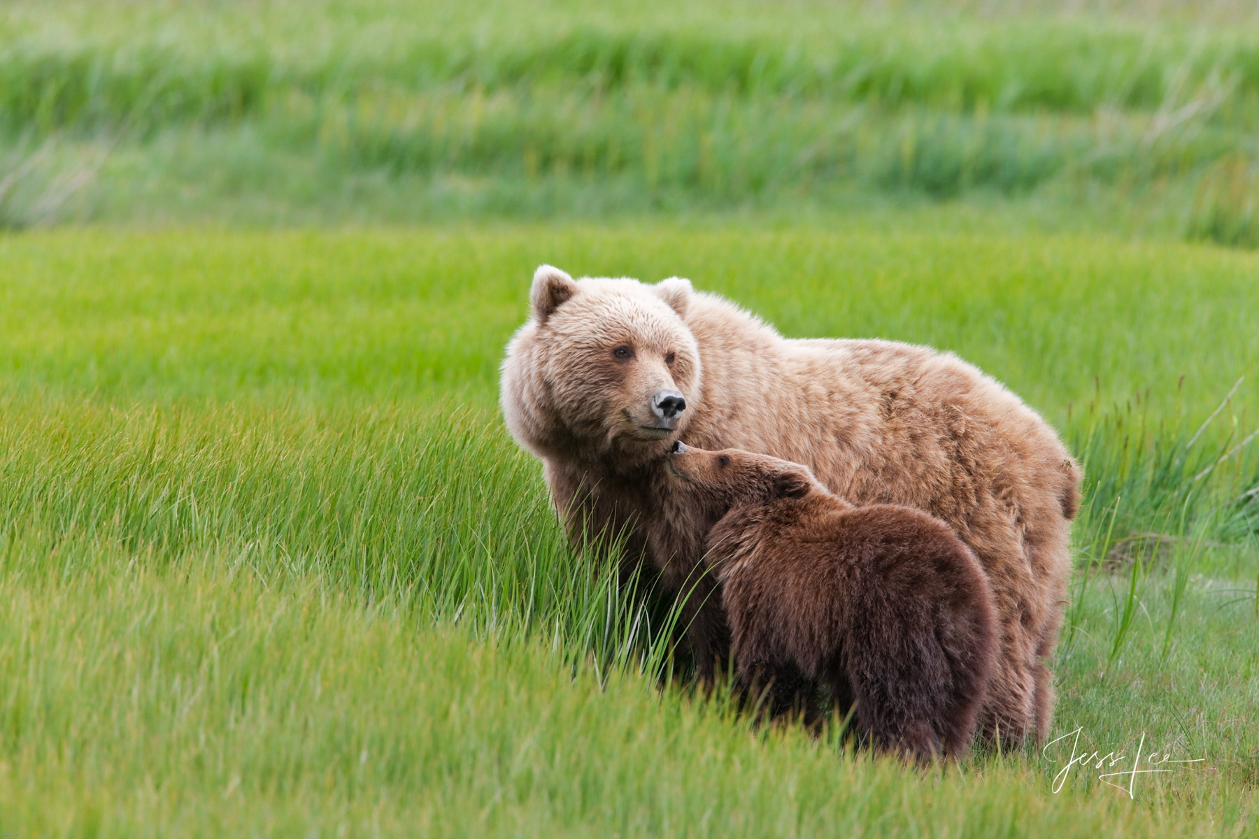 Limited Edition Wildlife photo. Brown Bear Cub and mom.